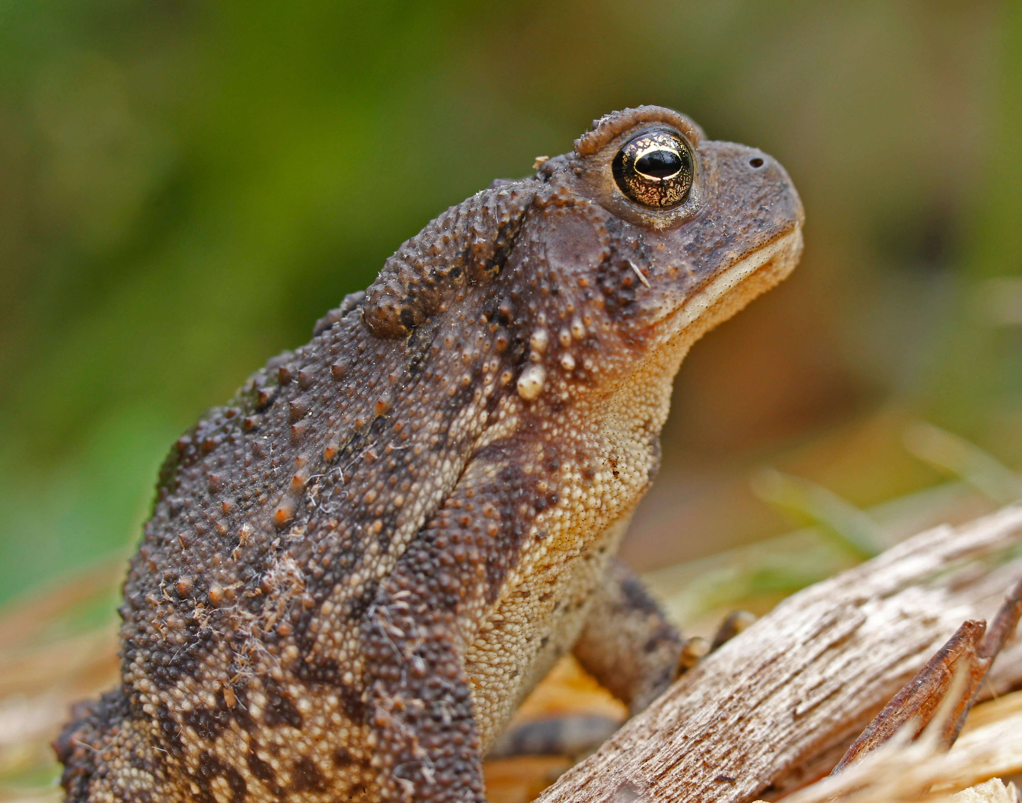 American Toad Profile