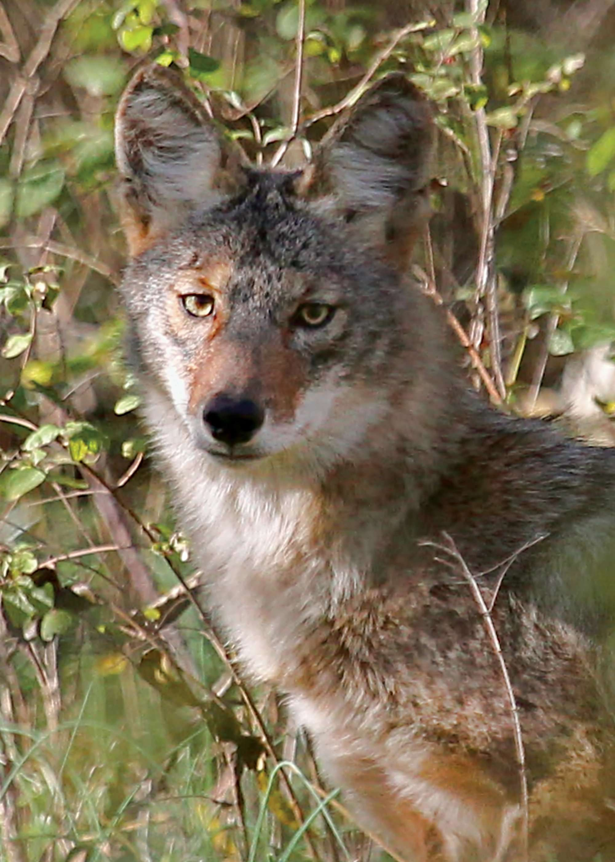 There, Then Gone - Coyote Note Card in Celebrate Nature 8 & 16-Card Box Sets