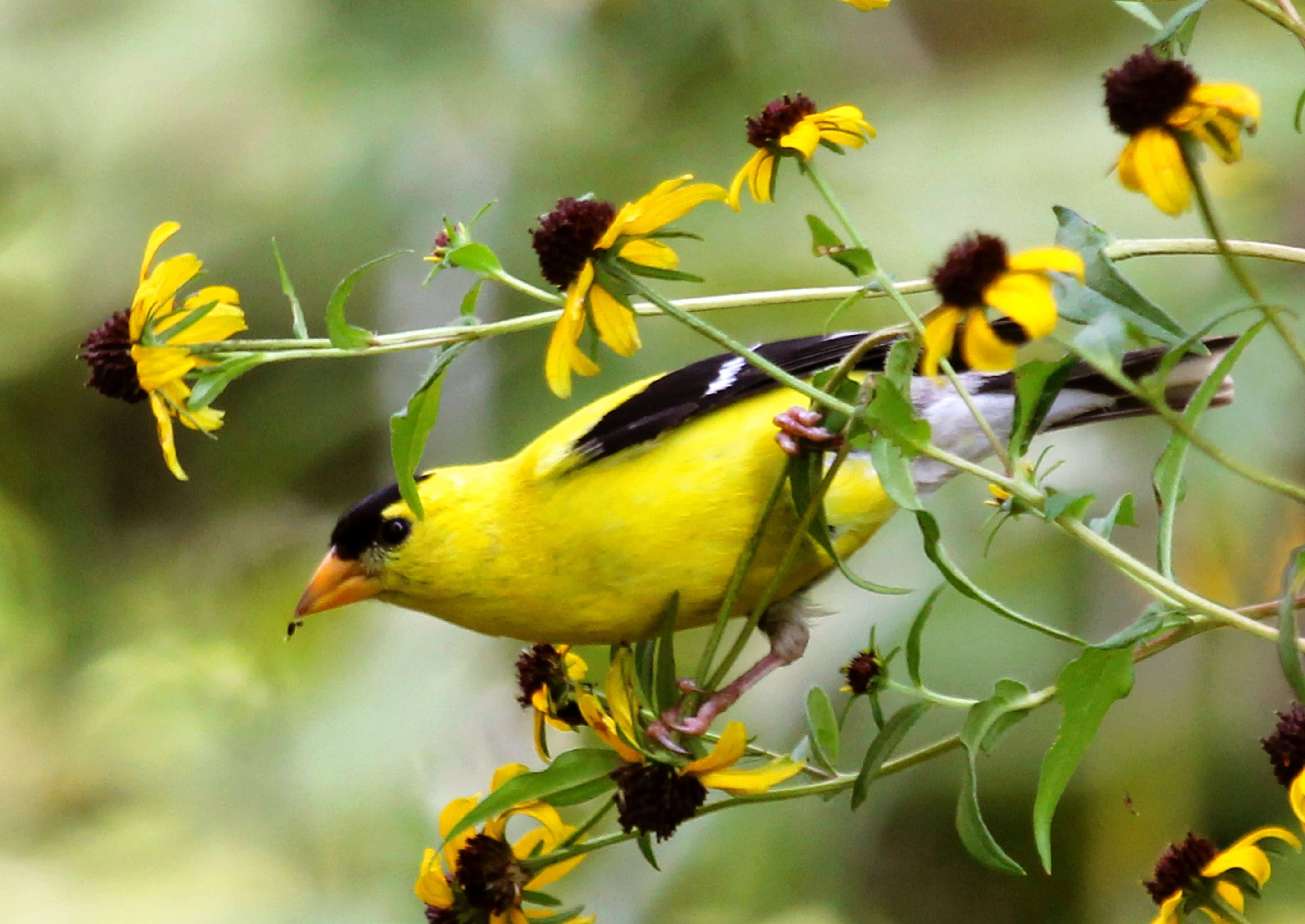 American Goldfinch Eats Seeds - Note Card in Wings in the Wild Box Set