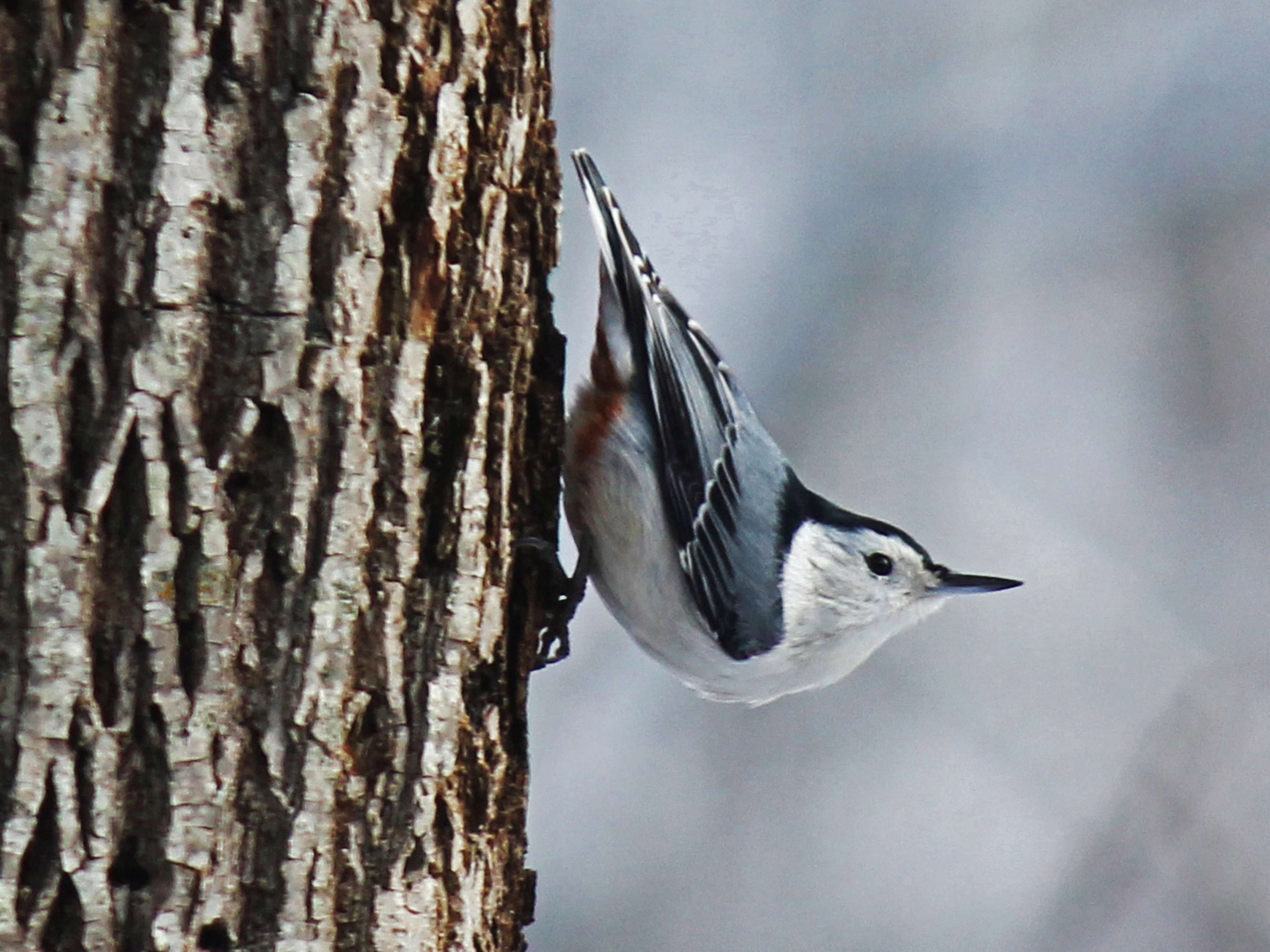 Little Nuthatch - Note Card in Wings in the Wild Box Set