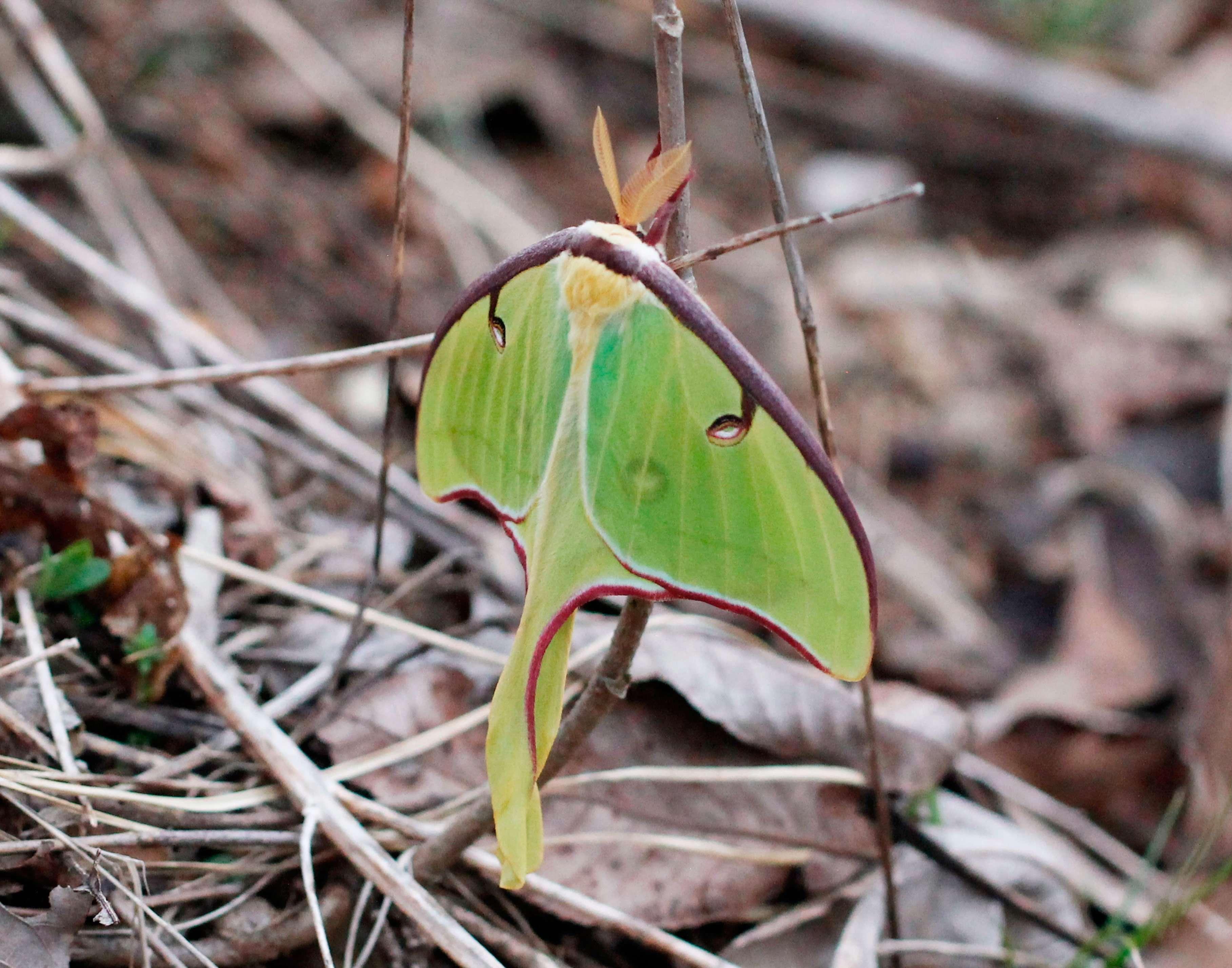Luna Moth in March