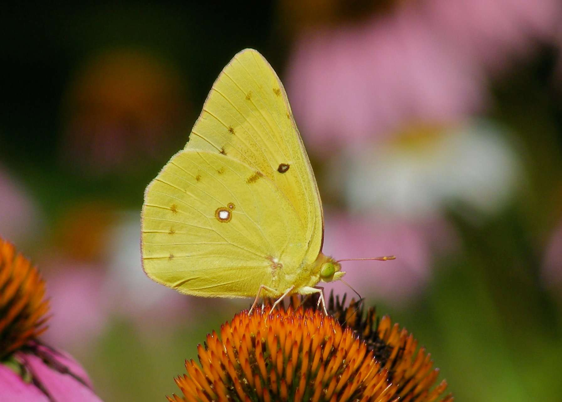 Clouded Sulphur Butterfly (Colias philodice) photo by Gail E Rowley Ozark Stream Photography