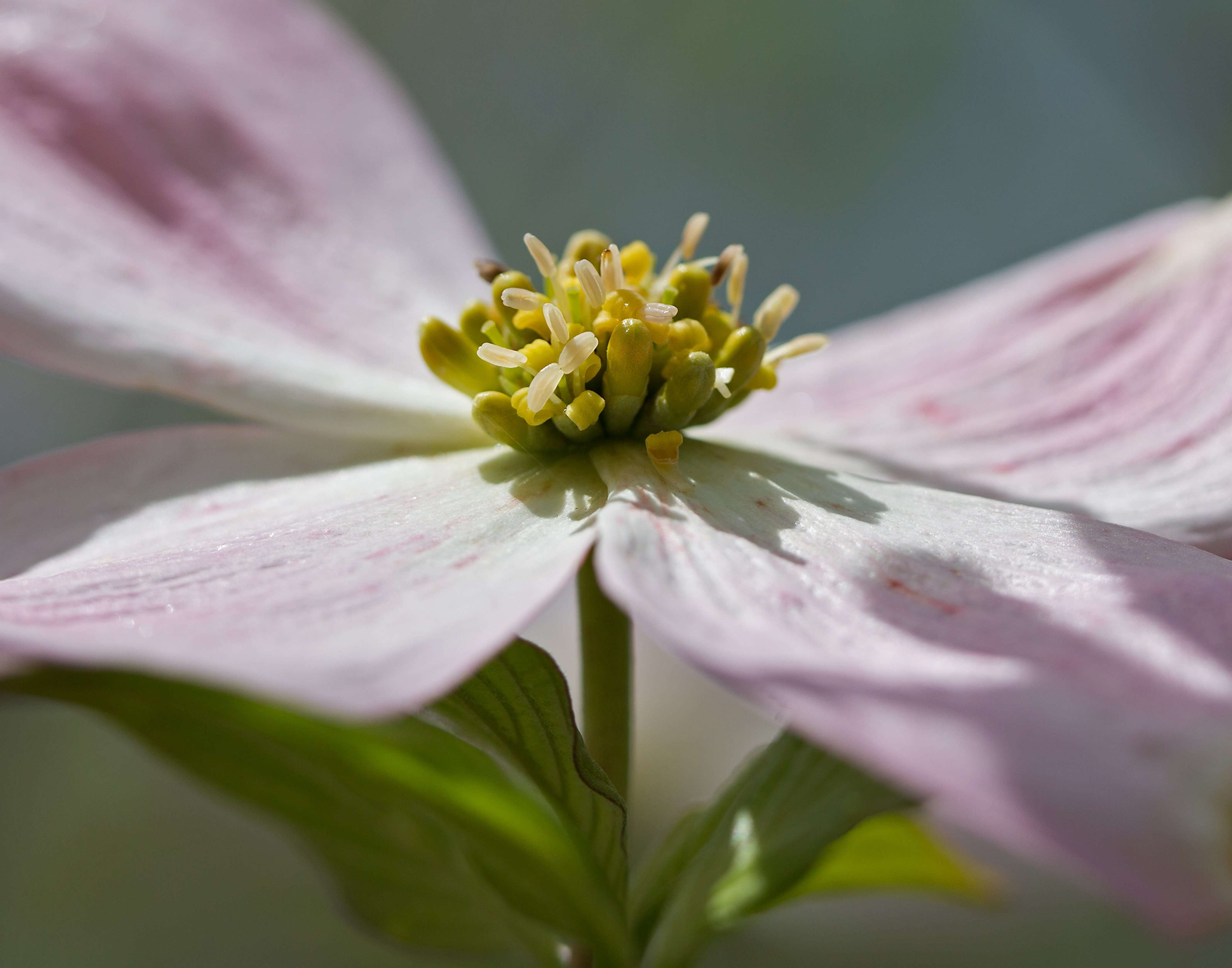 Native Dogwood's Blossoms