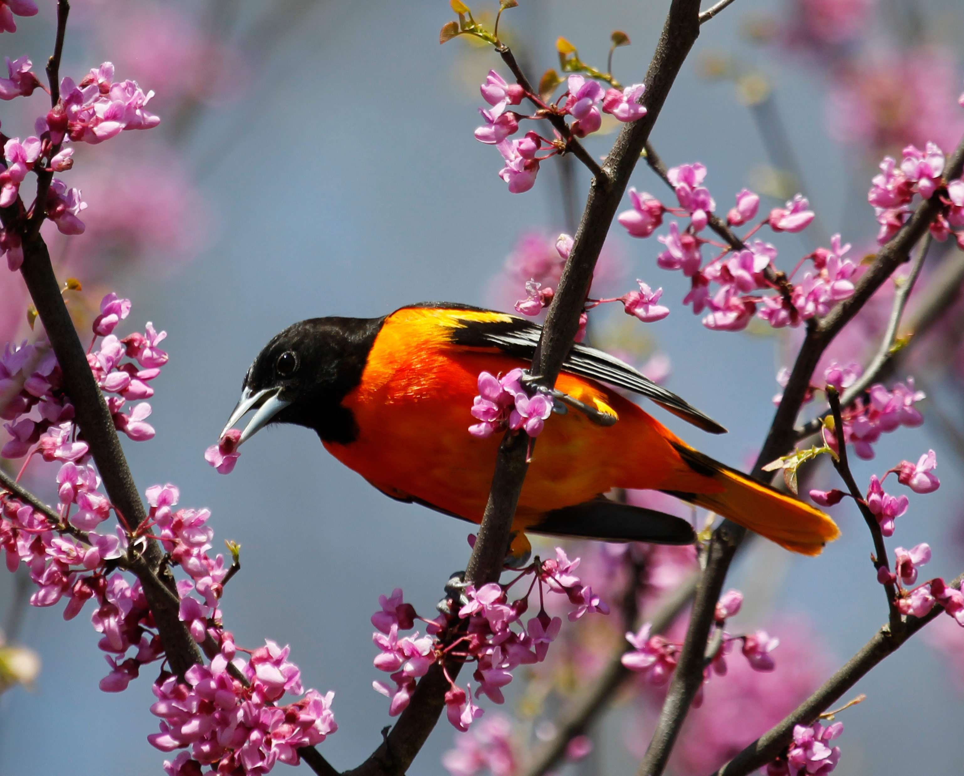 Baltimore Oriole Likes Nectar - Note Card in Wings in the Wild Box Set
