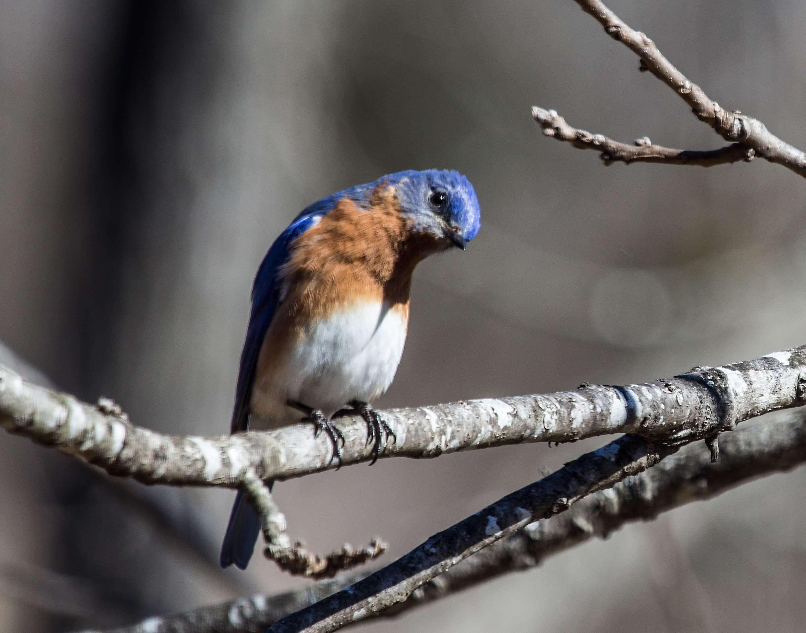 Eastern Bluebird Looks