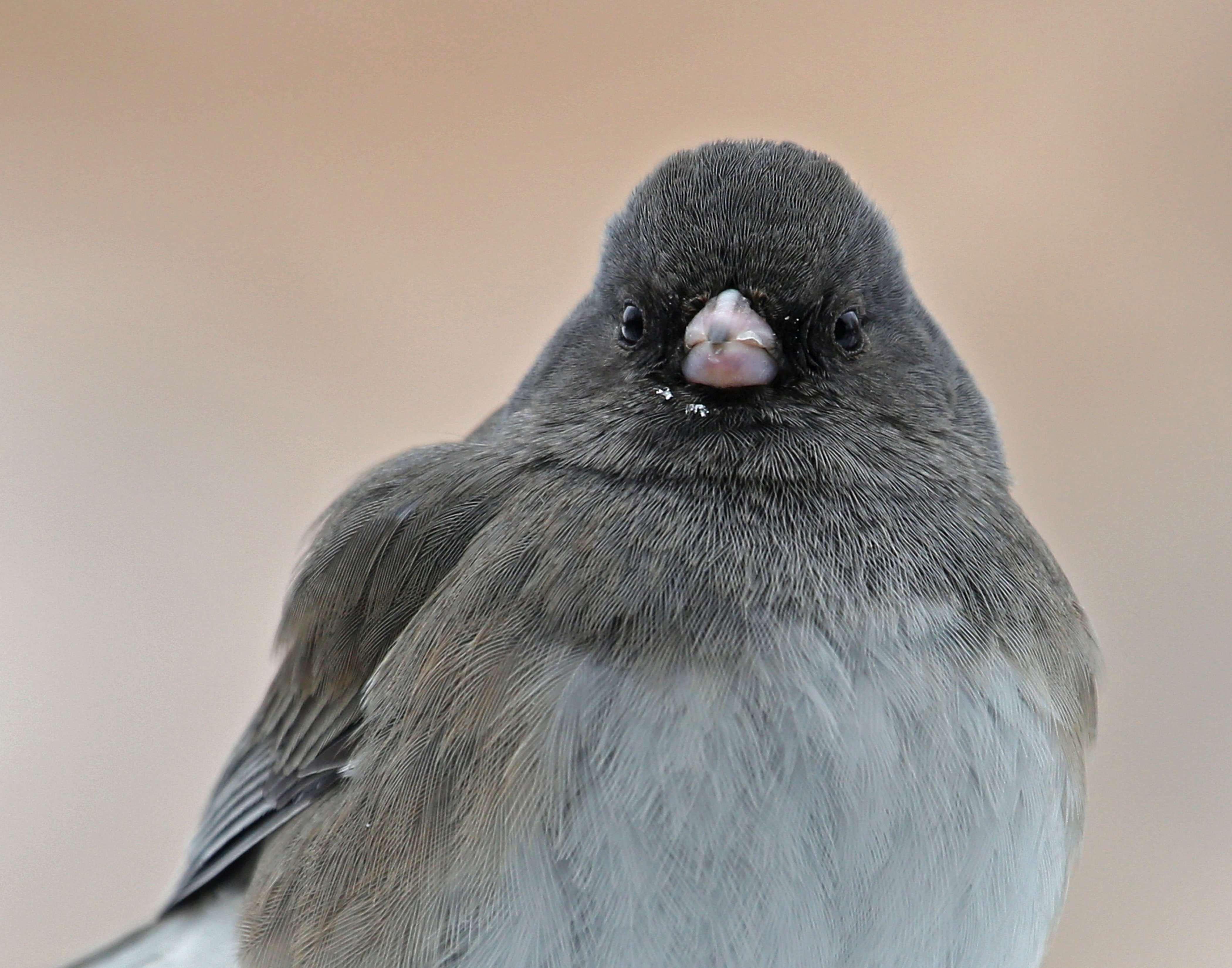 Male Dark-eyed Junco