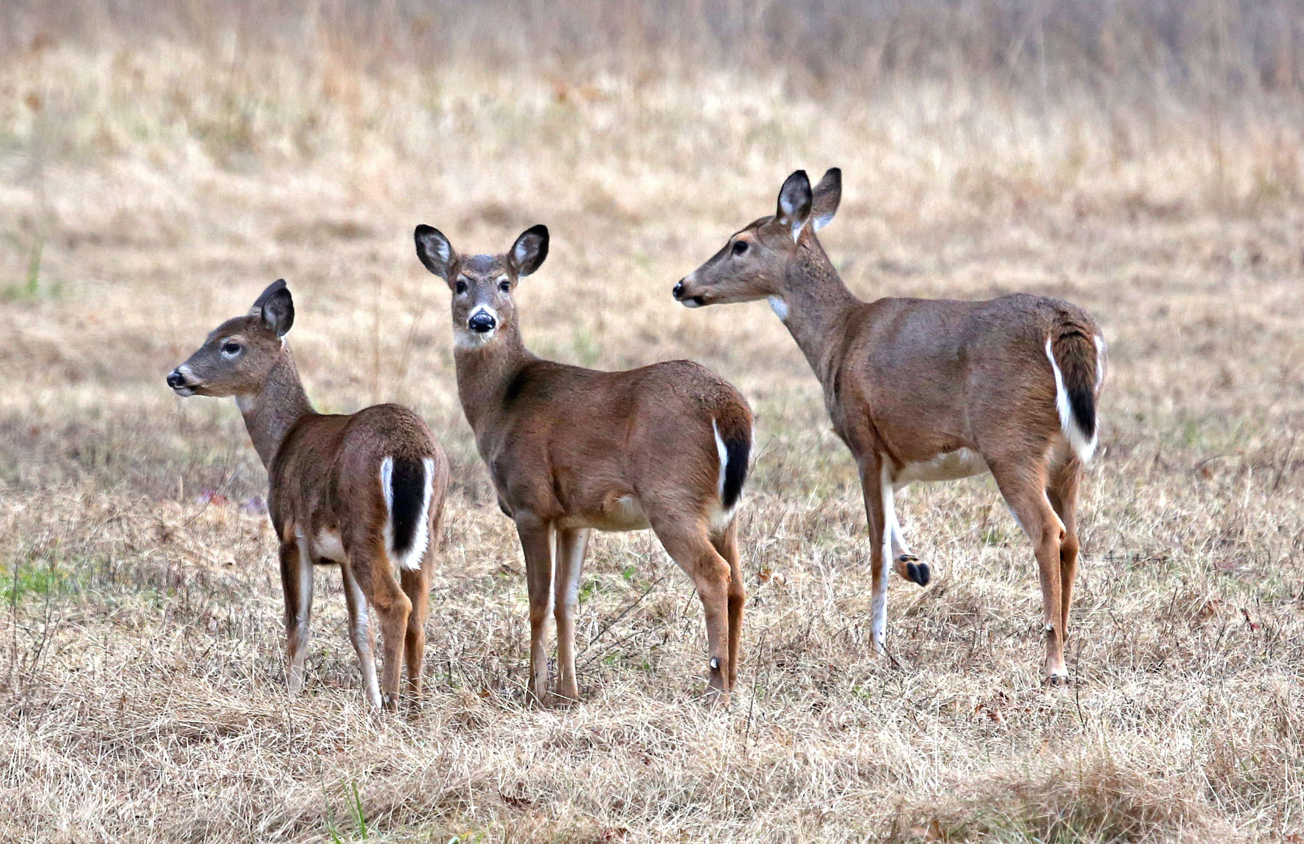White-tailed Deer - Mother & Twins