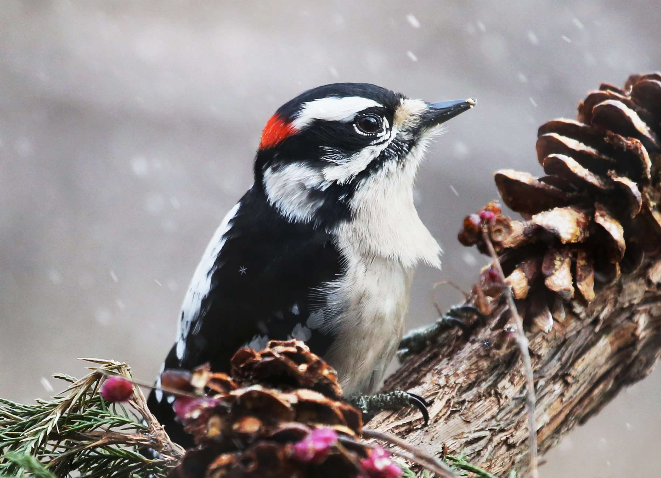 Male Downy Woodpecker - Note Card in Celebrate Nature 8 & 16-Card Box Sets