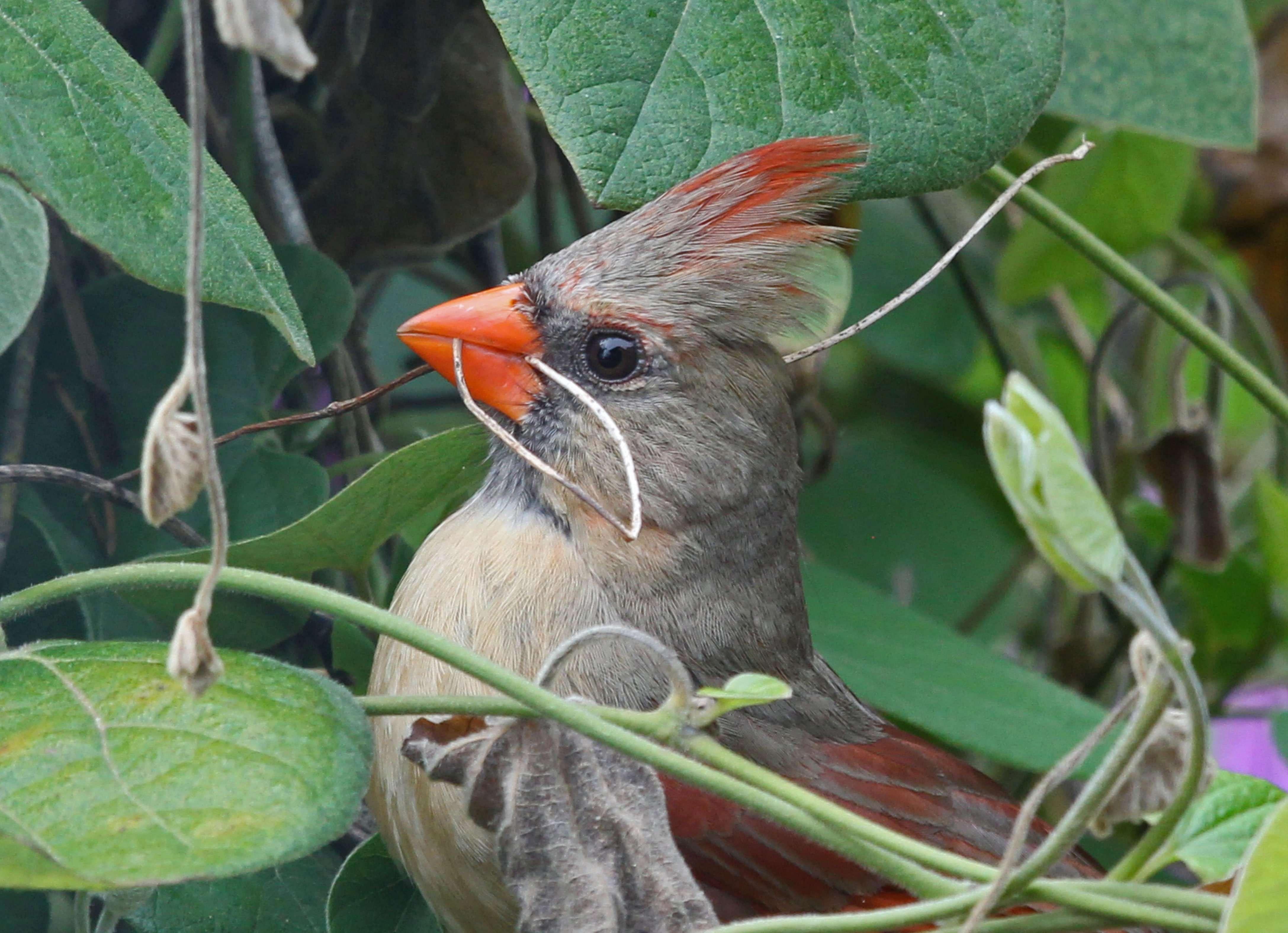 Female Cardinal Nesting