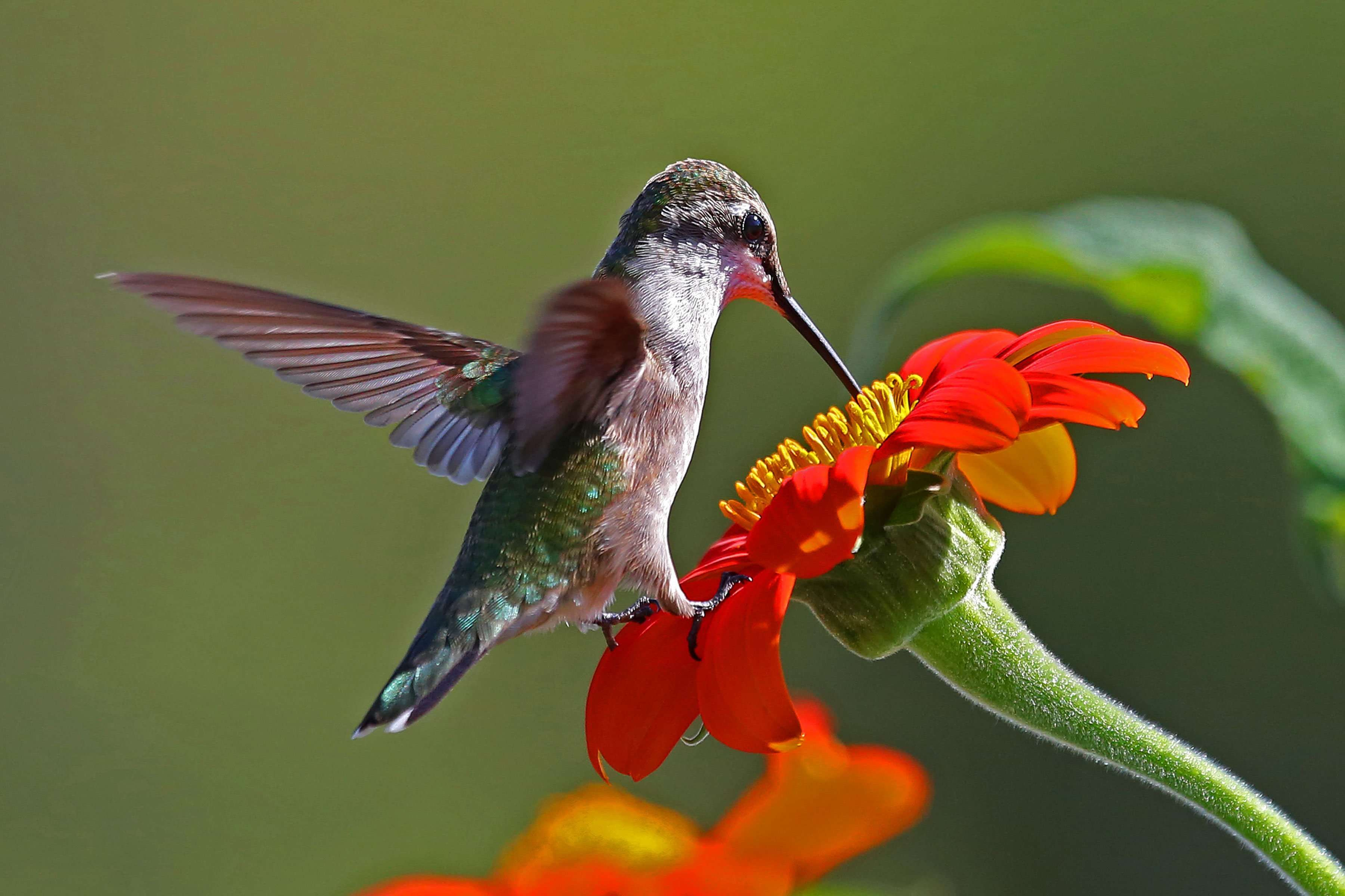 Hummingbird on Mexican Torch
