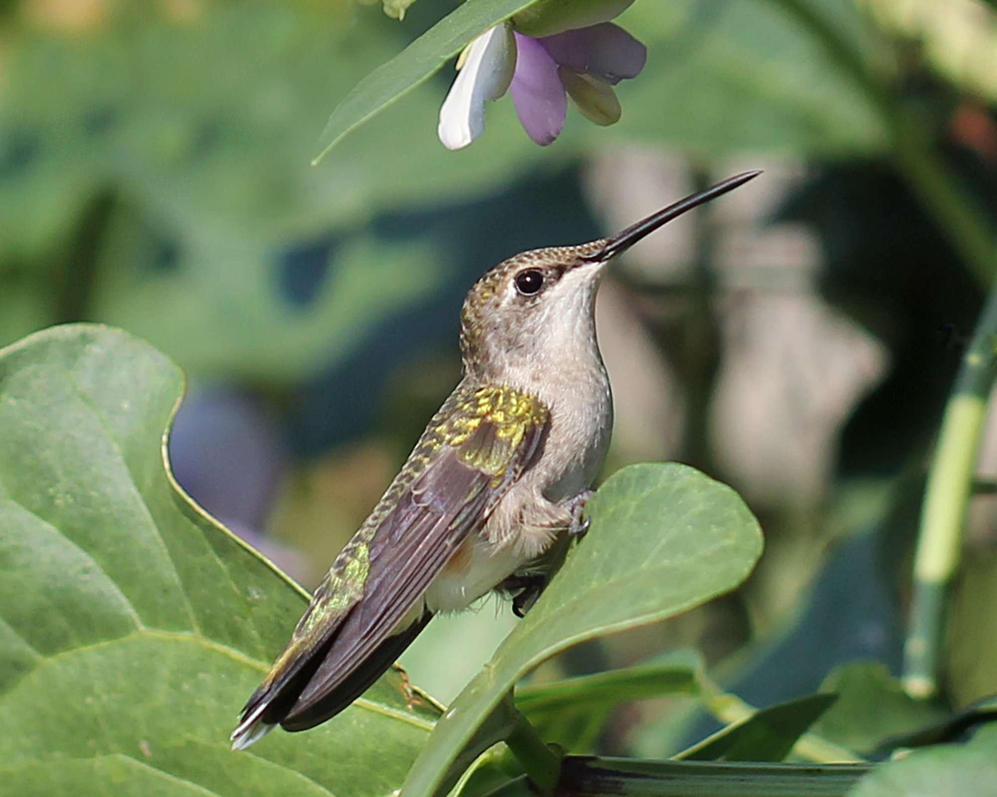 Hummingbird Rests