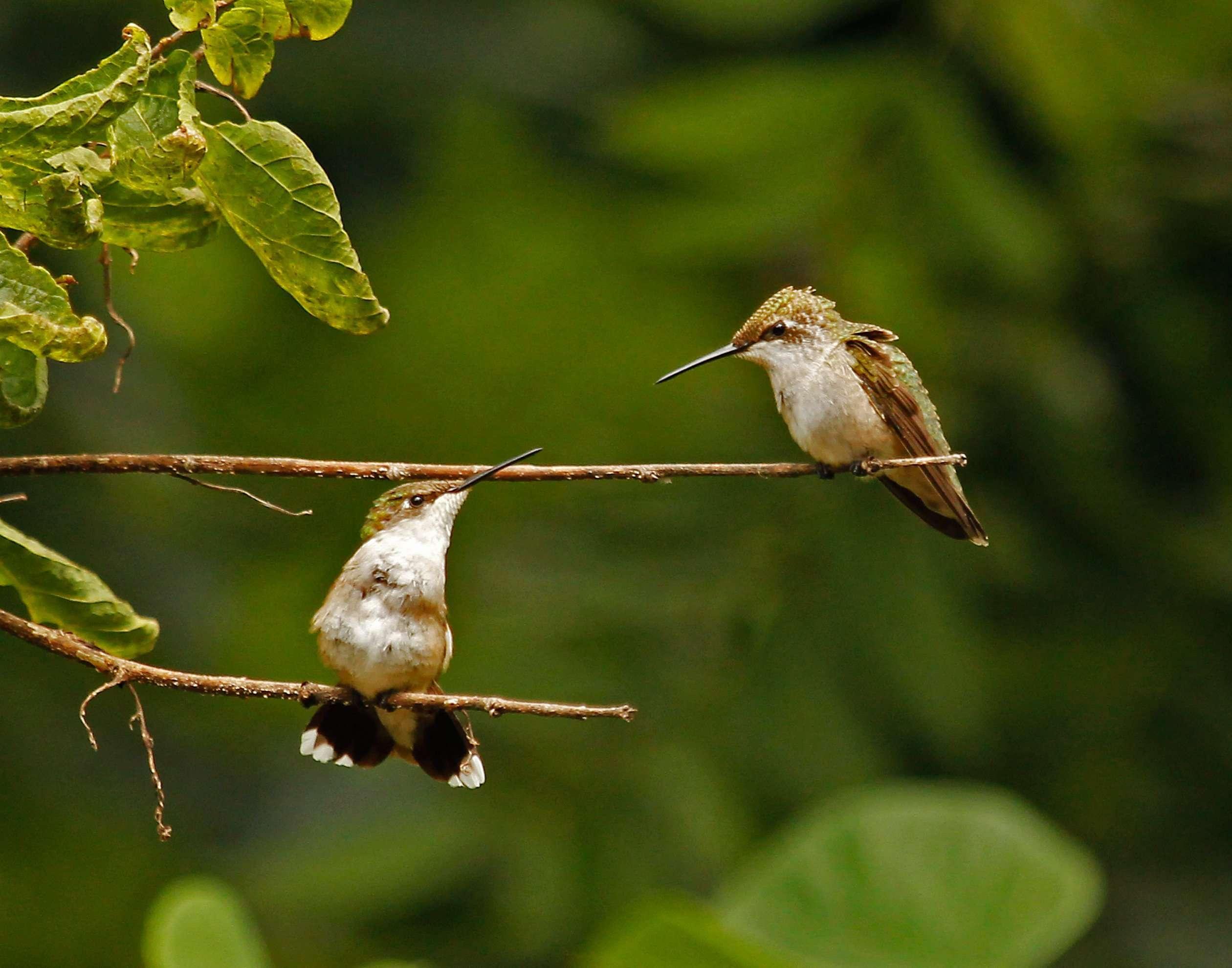 Hummingbird Siblings