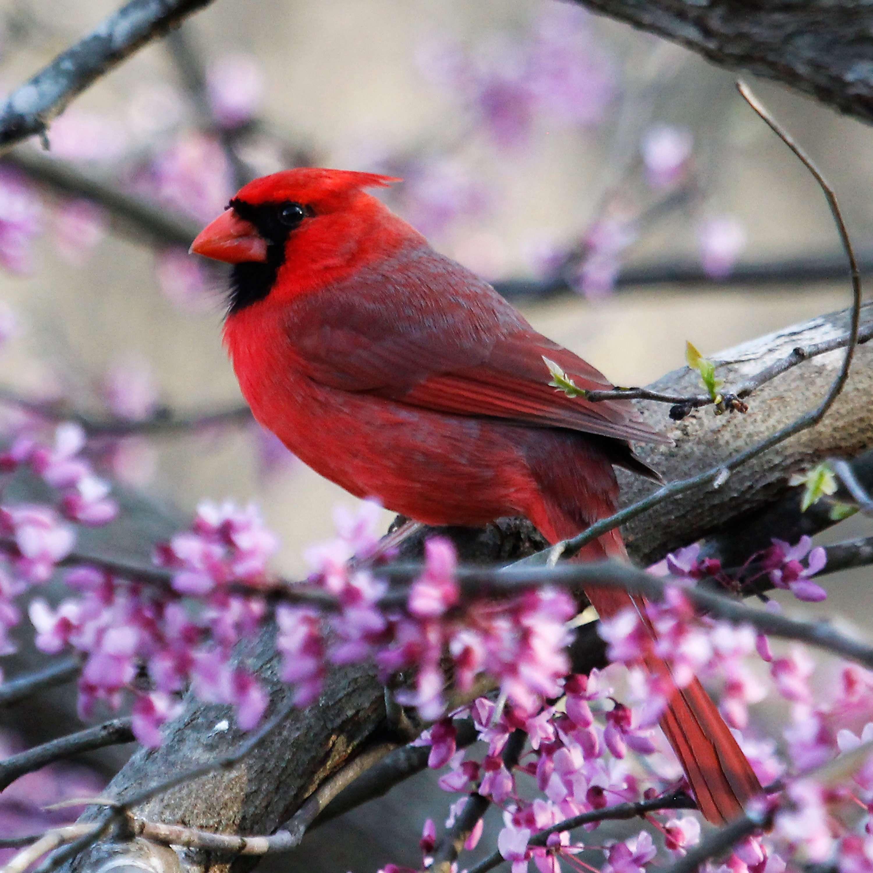 Male Cardinal on Redbud