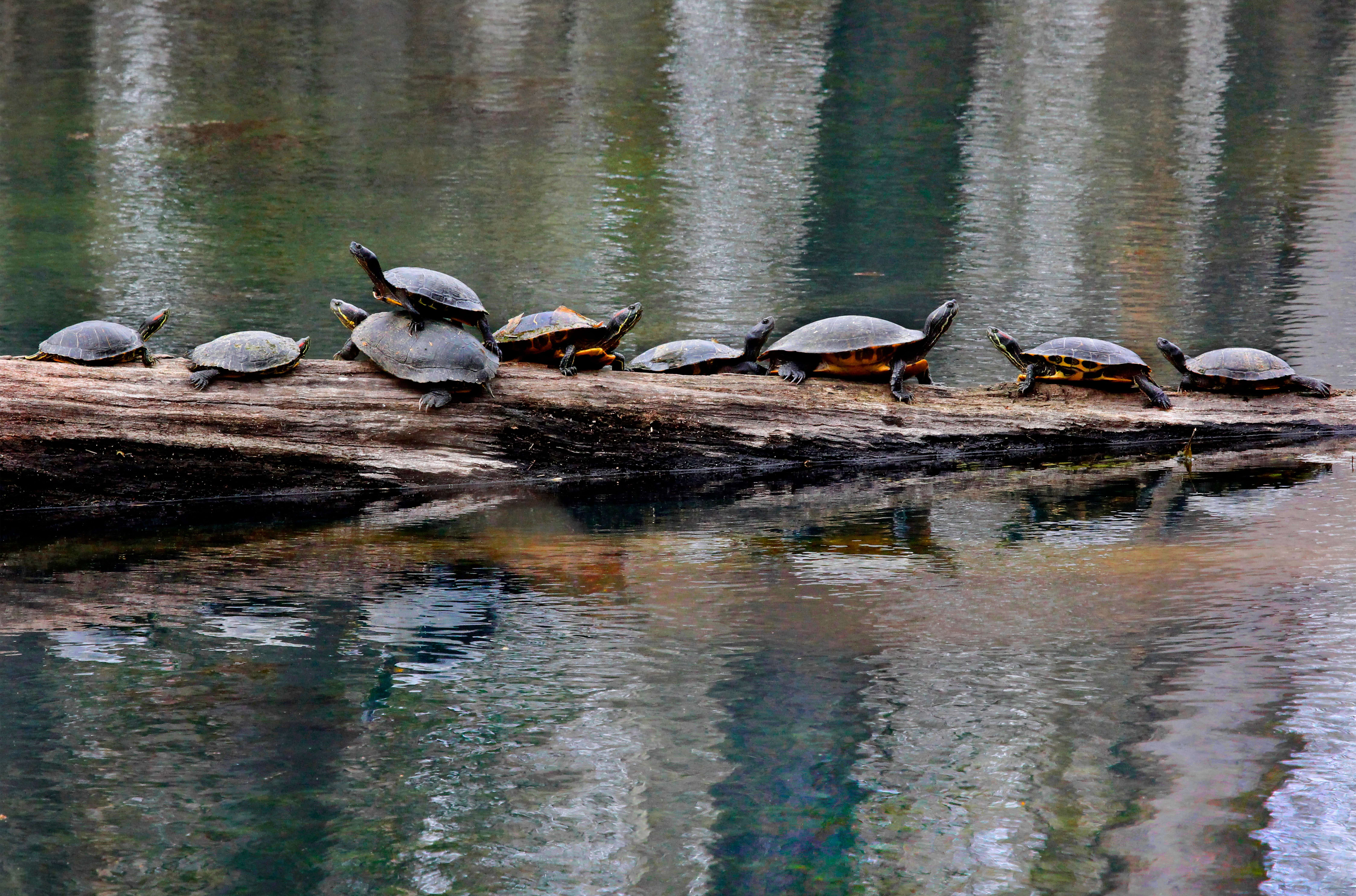 Nine Turtles - Note Card in Ozark Streams Box Set