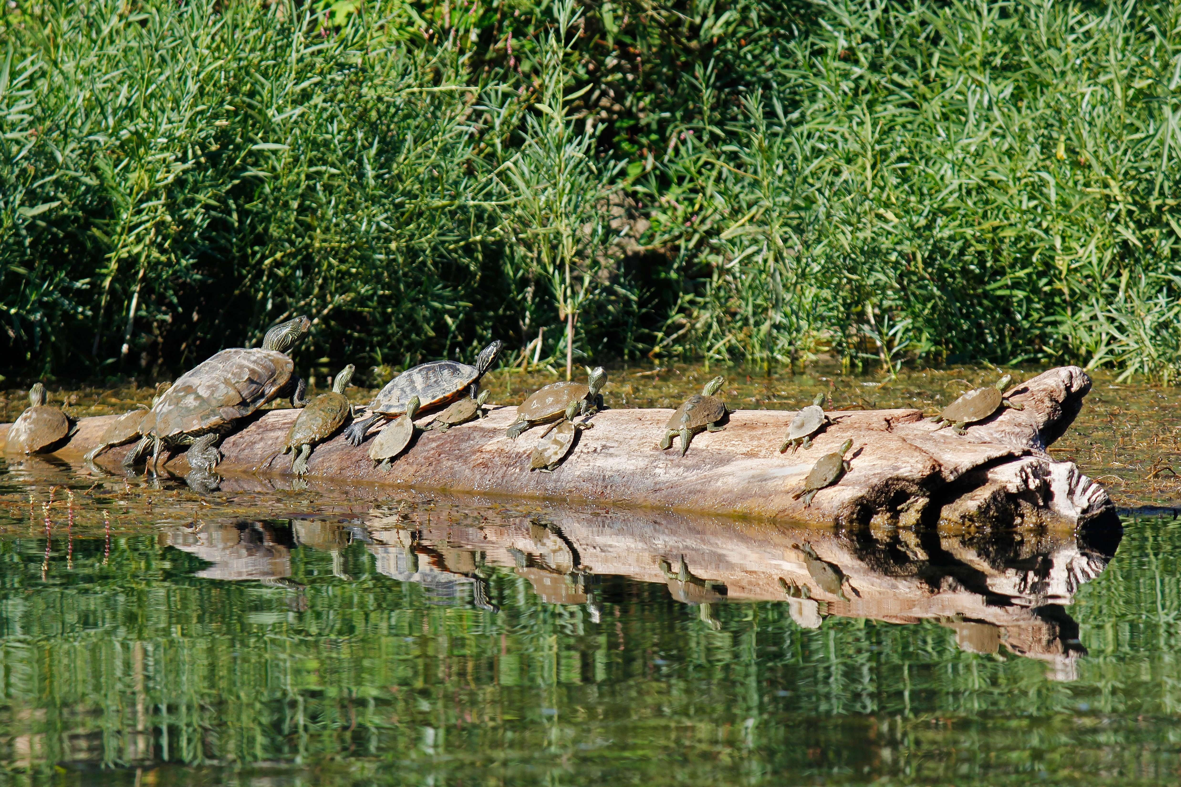 River Turtles Baker's Dozen