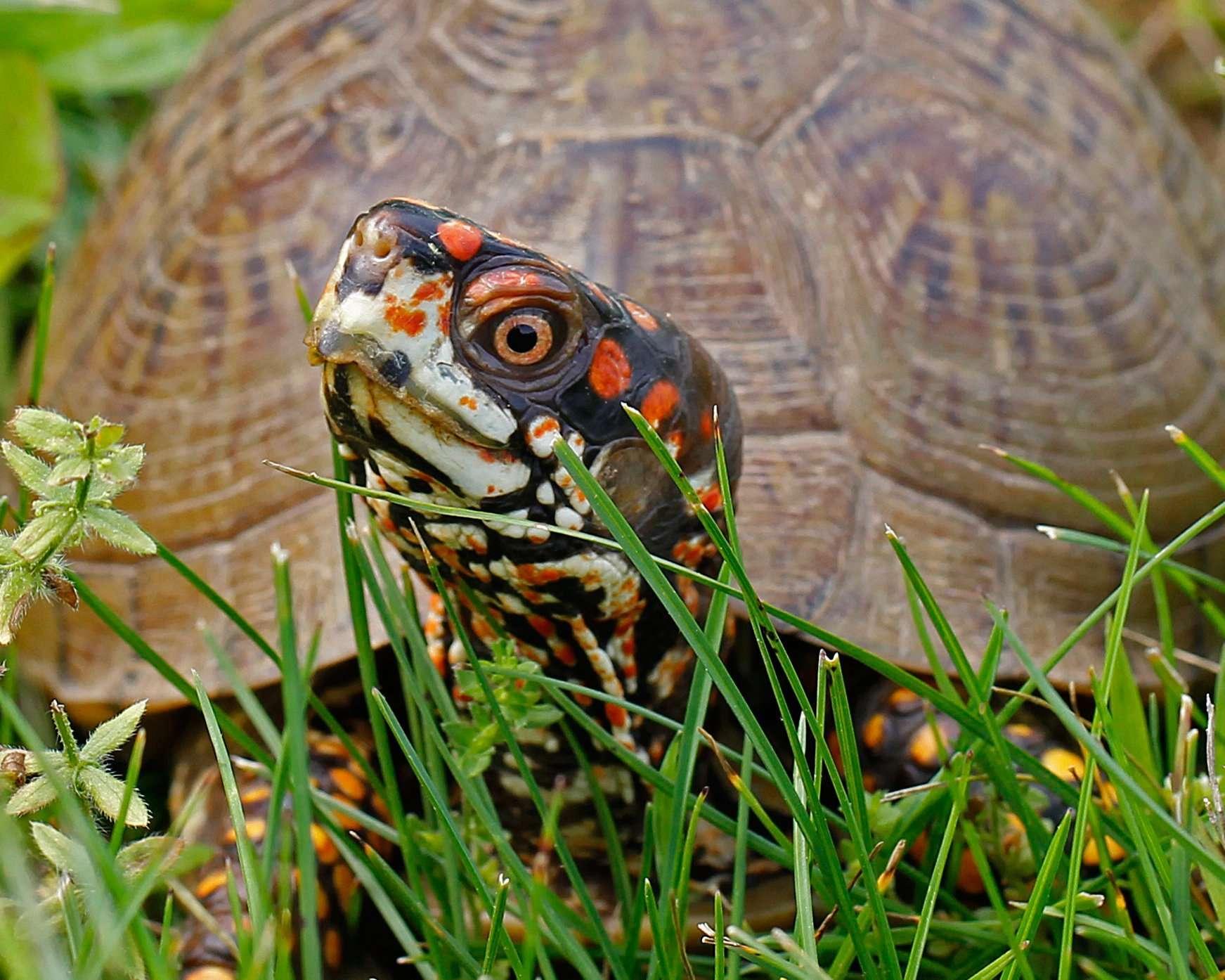 Male Three-toed Box Turtle