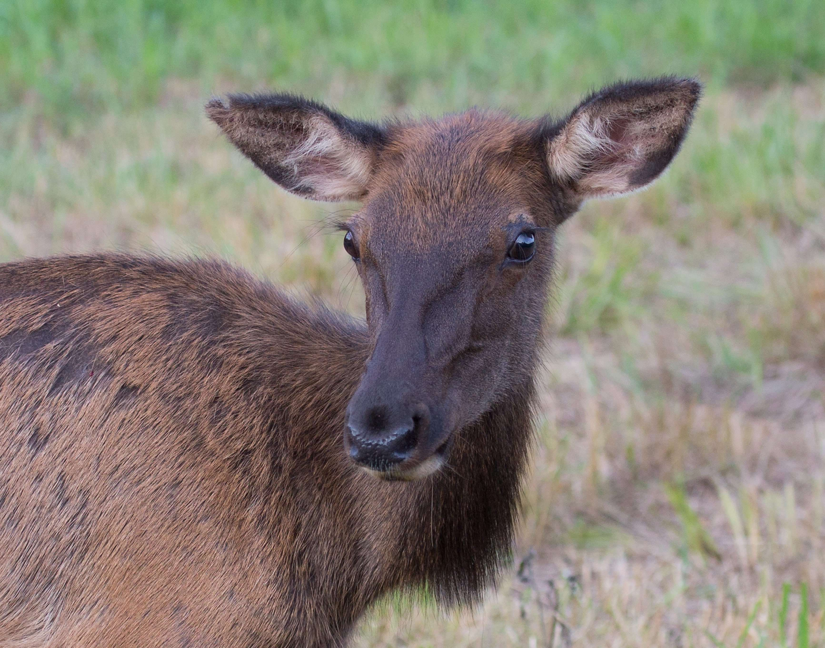 Young Elk - Peck Ranch
