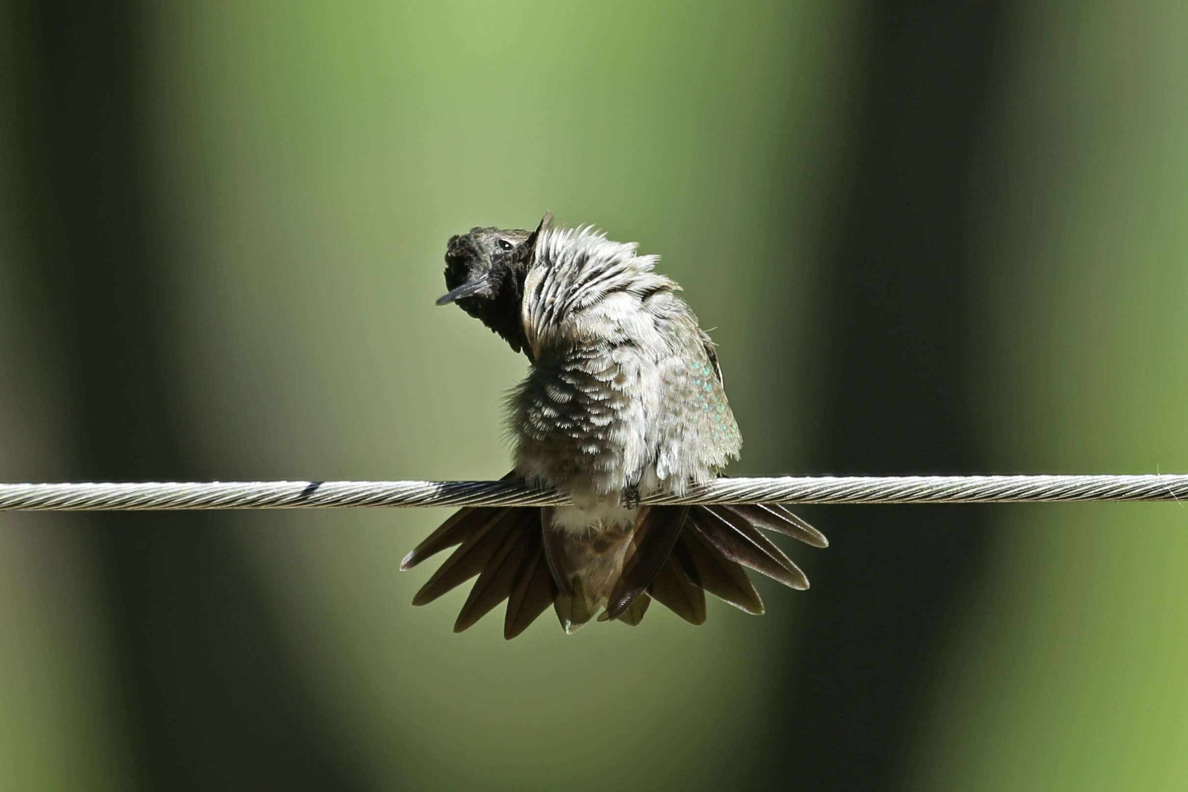 Hummingbird Grooms