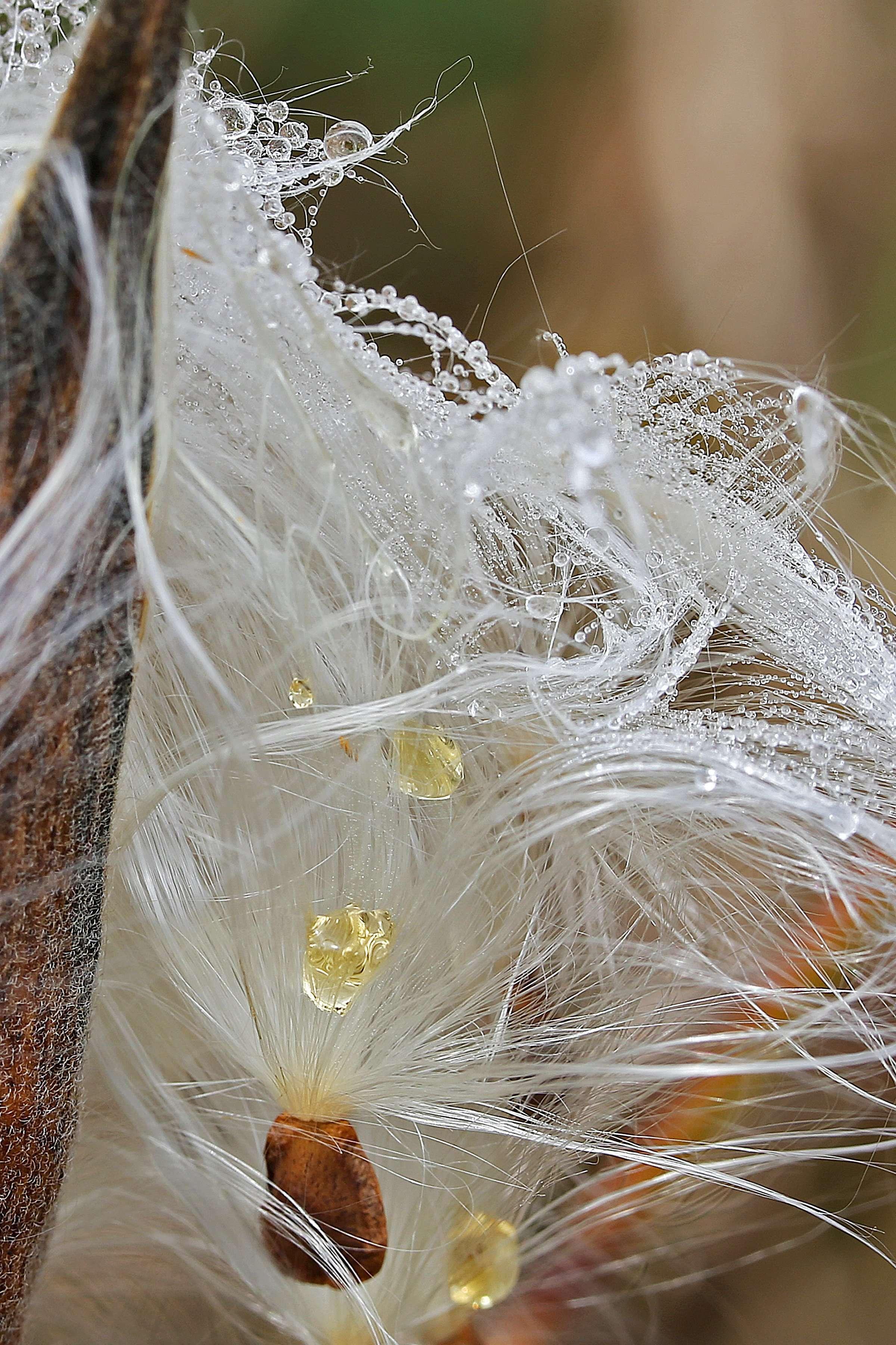 Dew Laden Milkweed Pod Dispersing Seeds