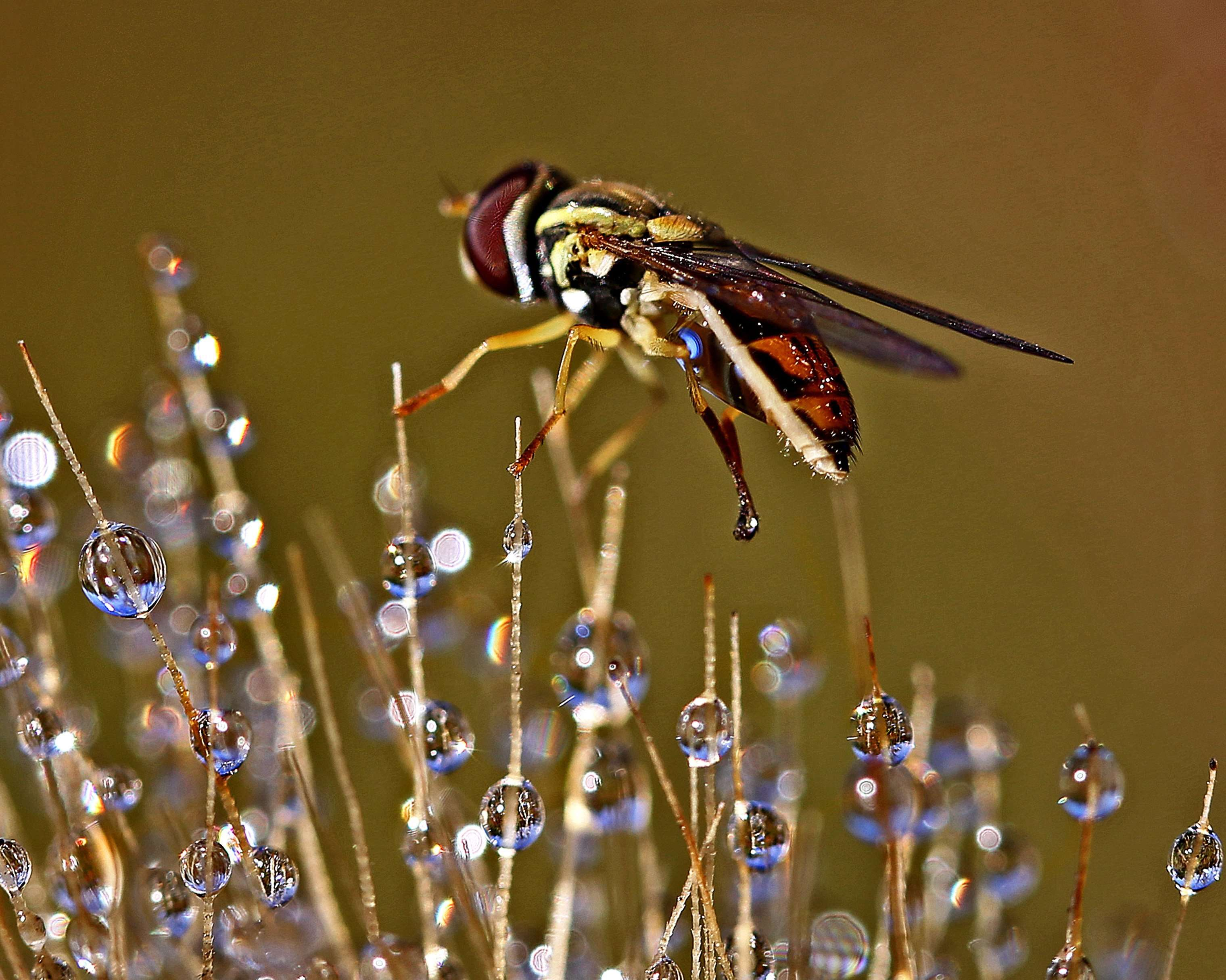 Syrphid Fly Bathing in Dewdrops