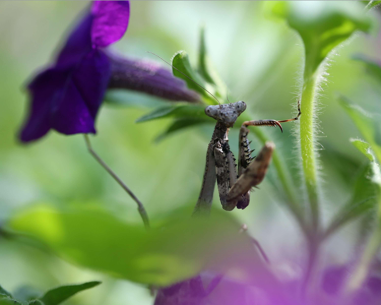 Young Brown Praying Mantis