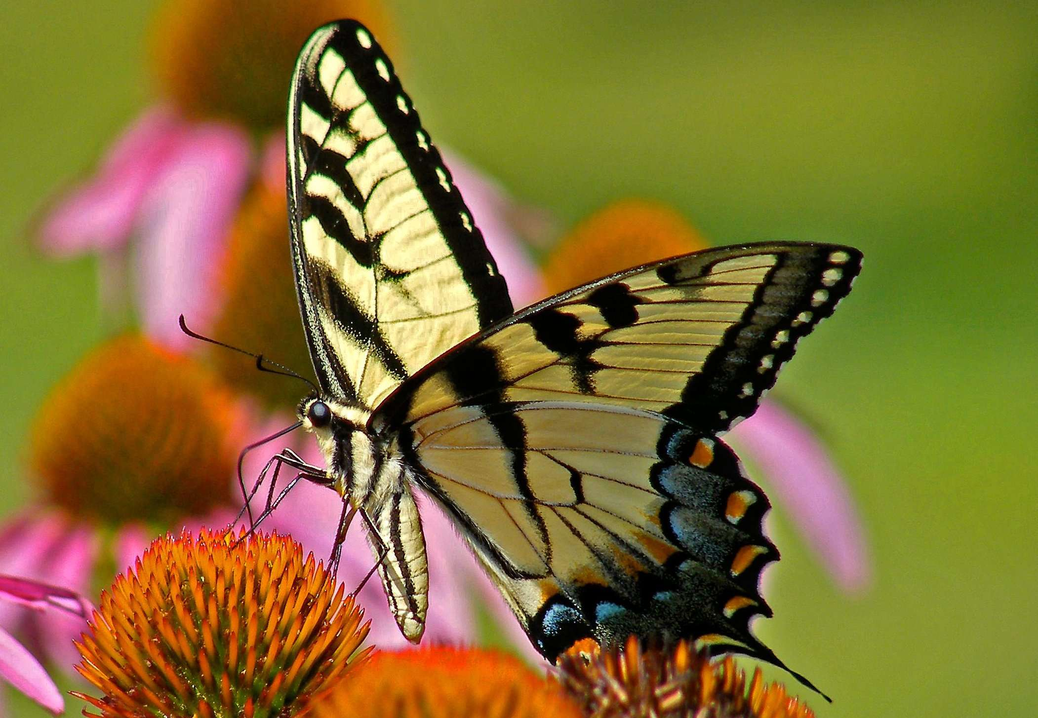 Eastern Tiger Swallowtail - Note Card in Jewels on Wings Box Set