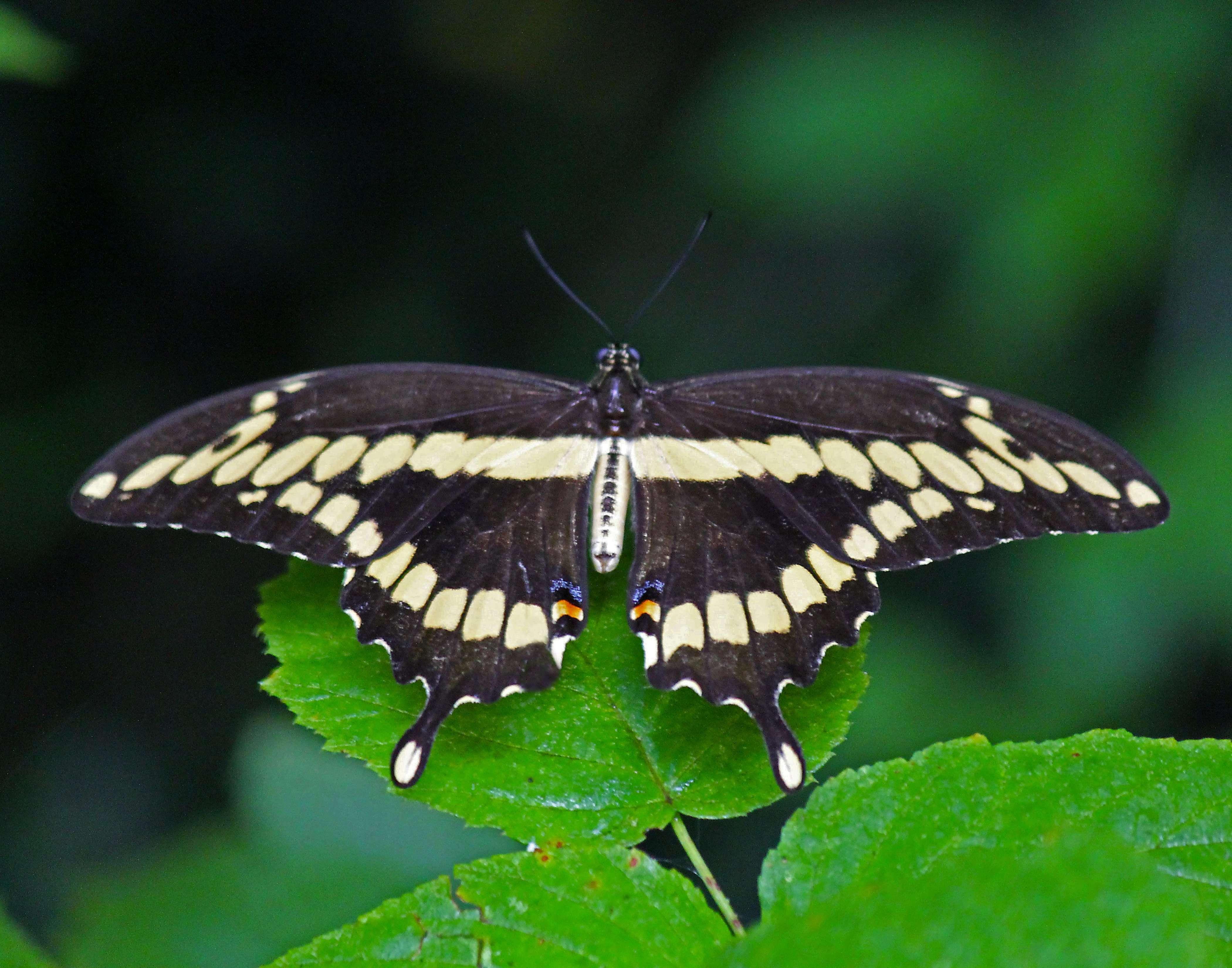 Giant Swallowtail - Dorsal View