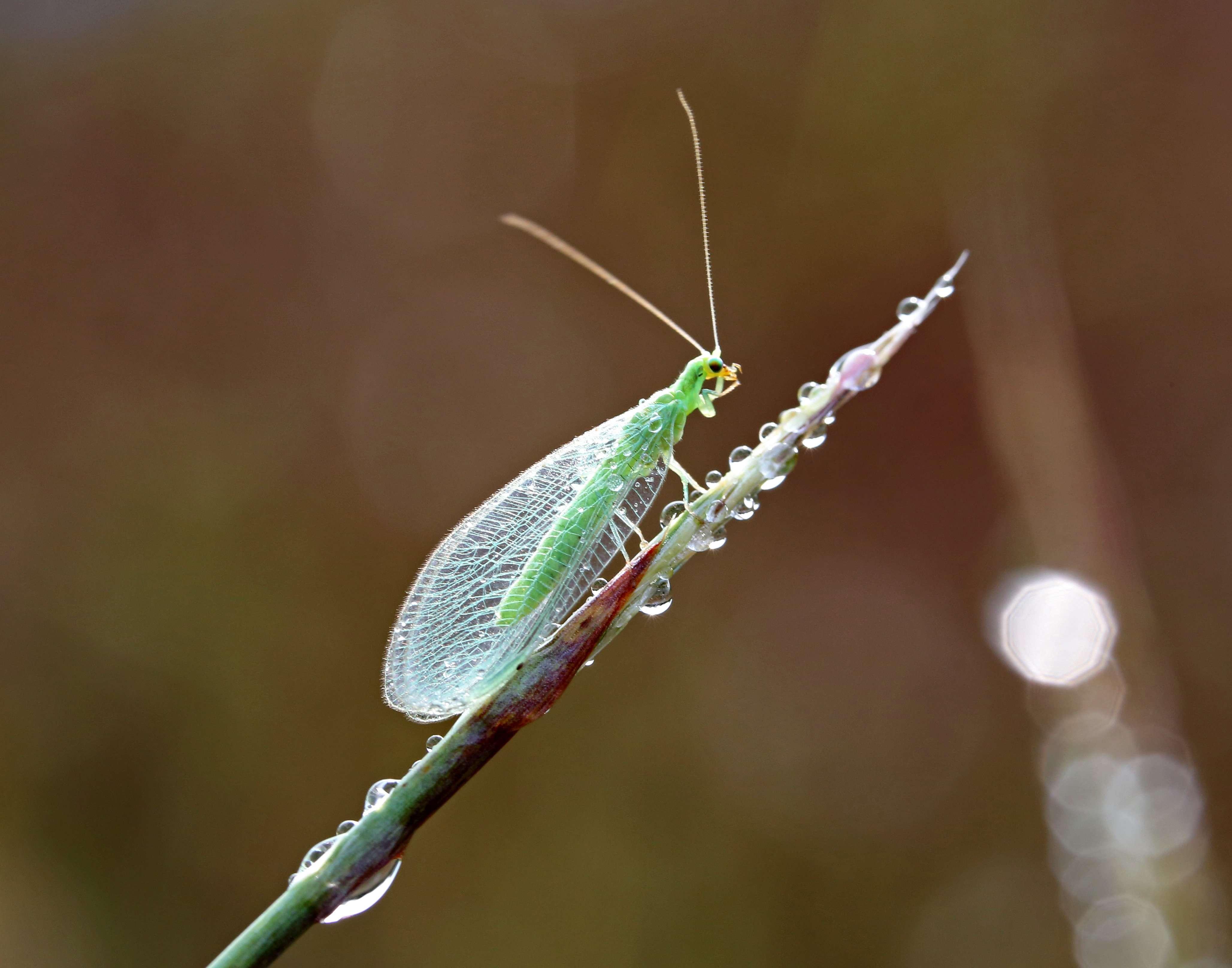 Green Lacewing on Little Bluestem