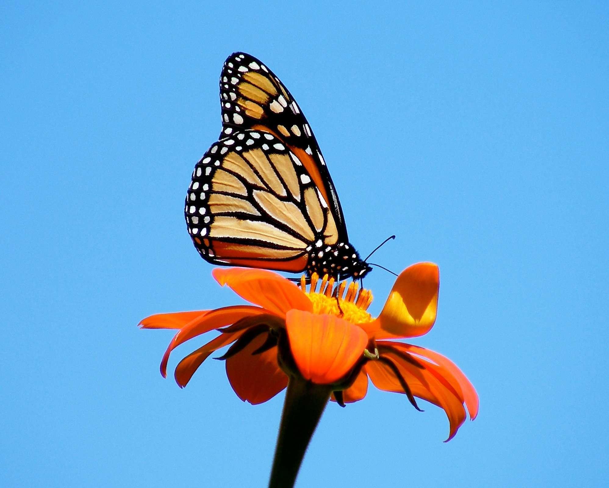 Monarch in September