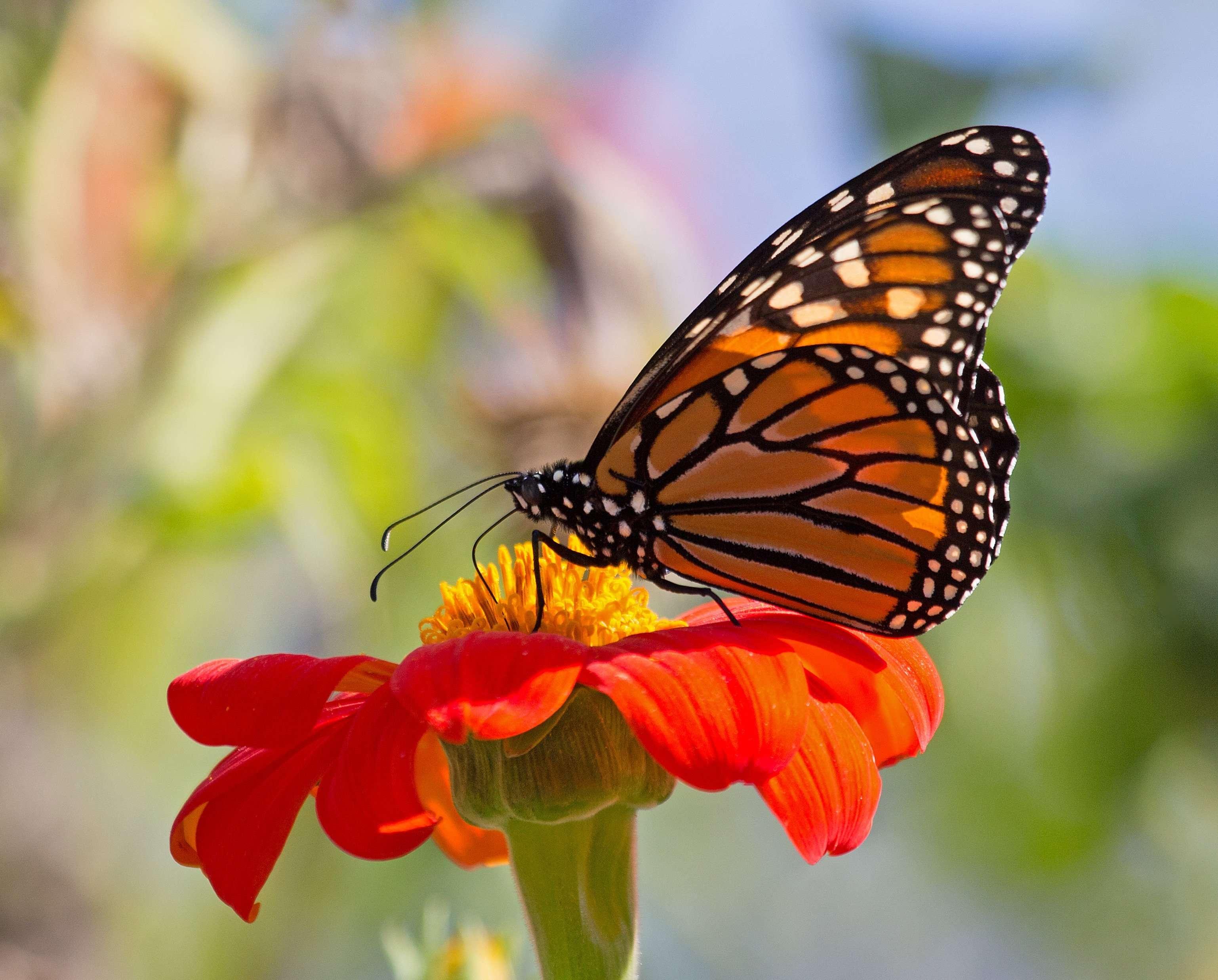 Monarch in October