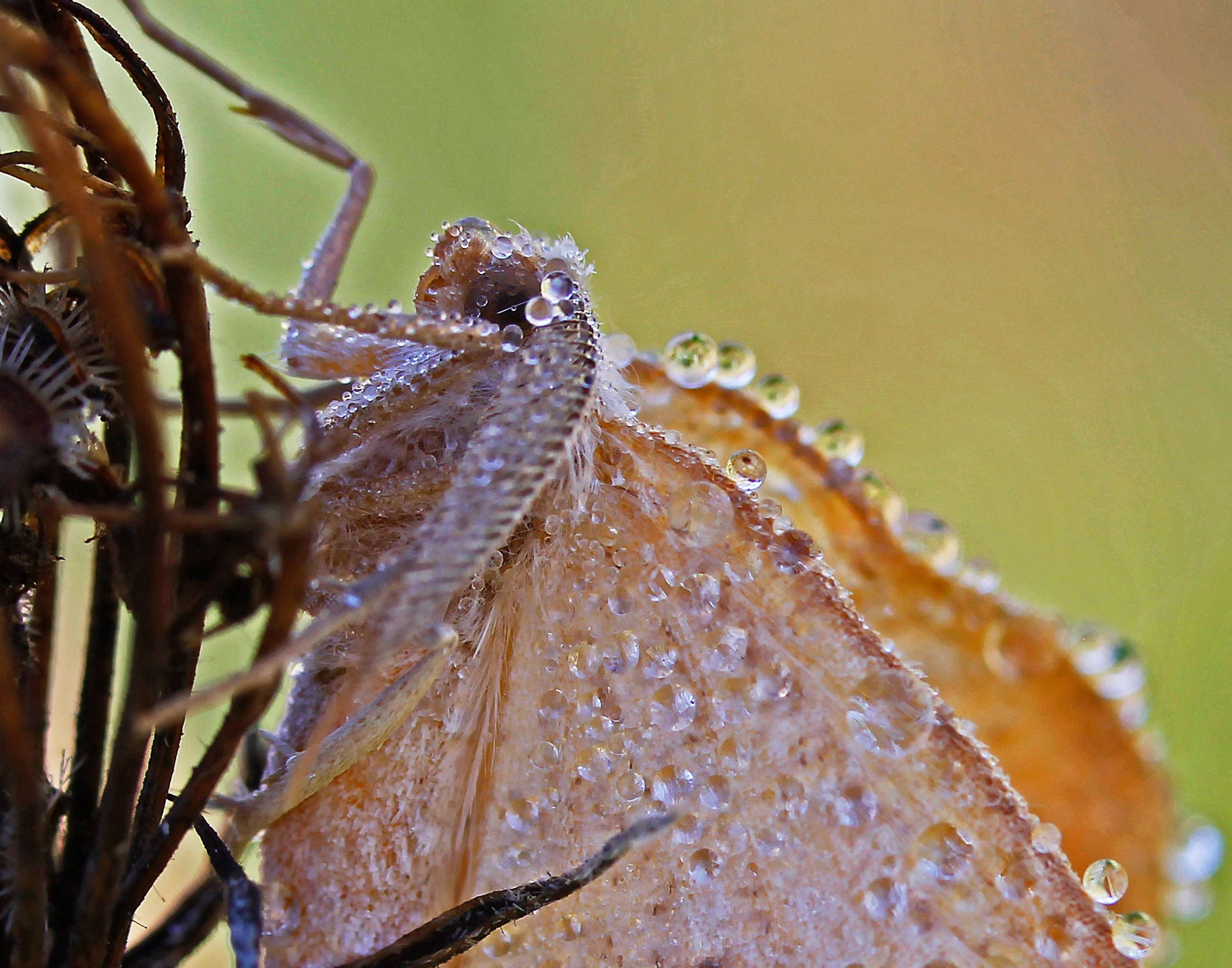 Dewdrop Covered Moth