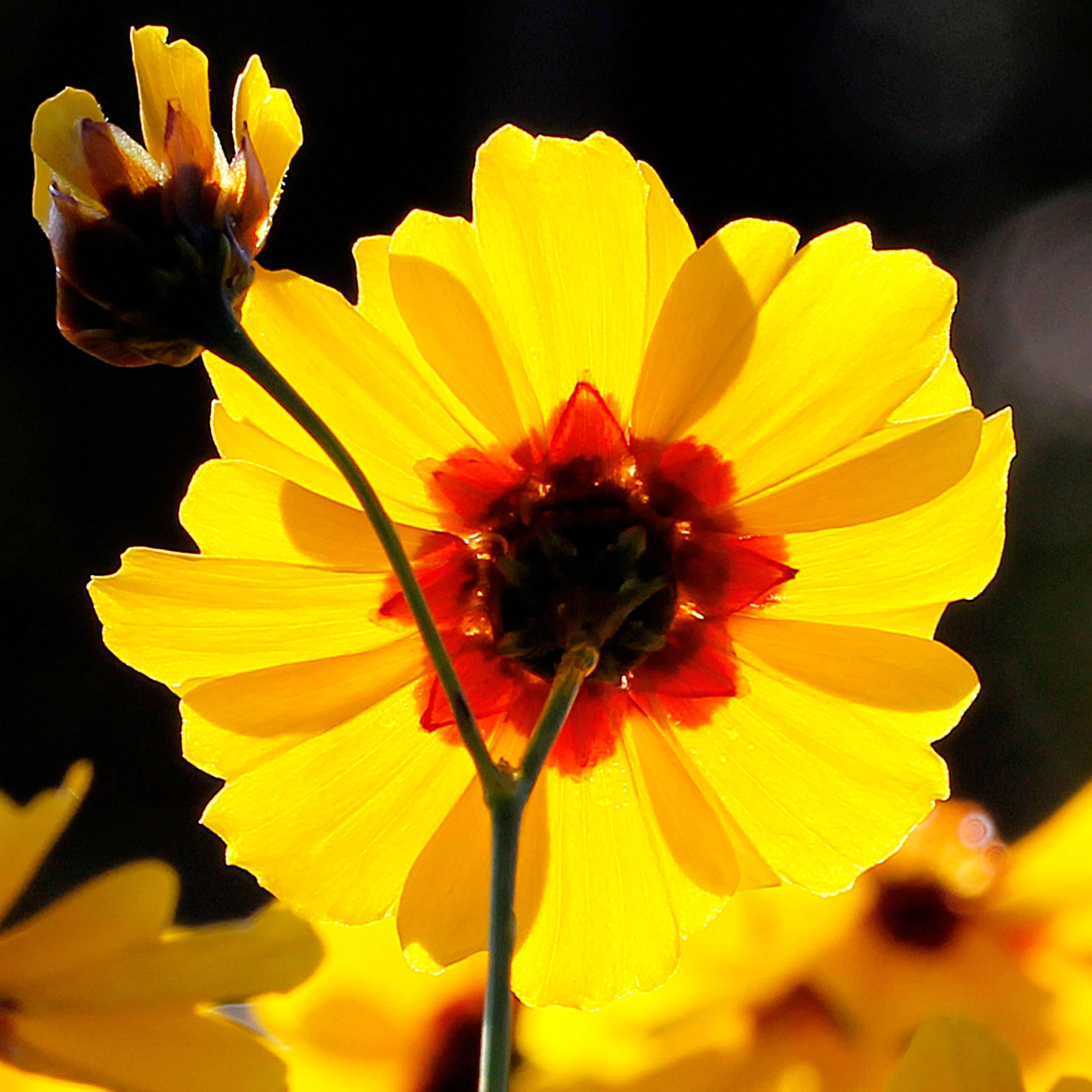Coreopsis tinctoria in morning sunlight