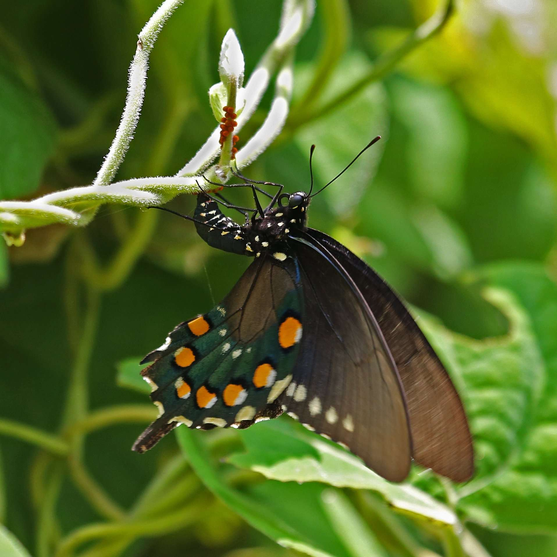 Pipevine Swallowtail Lays Eggs