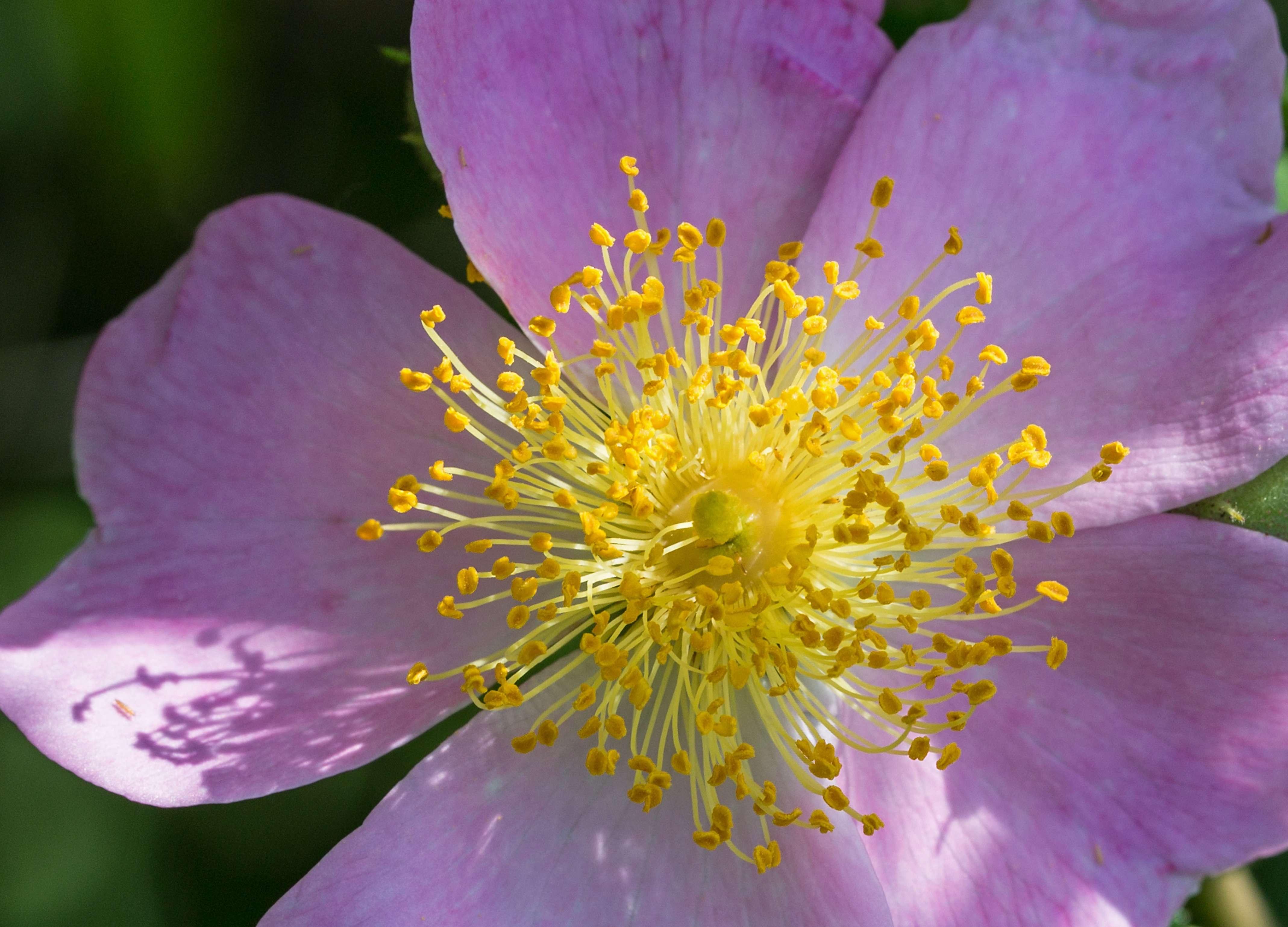 Prairie Rose in Prairie State Park