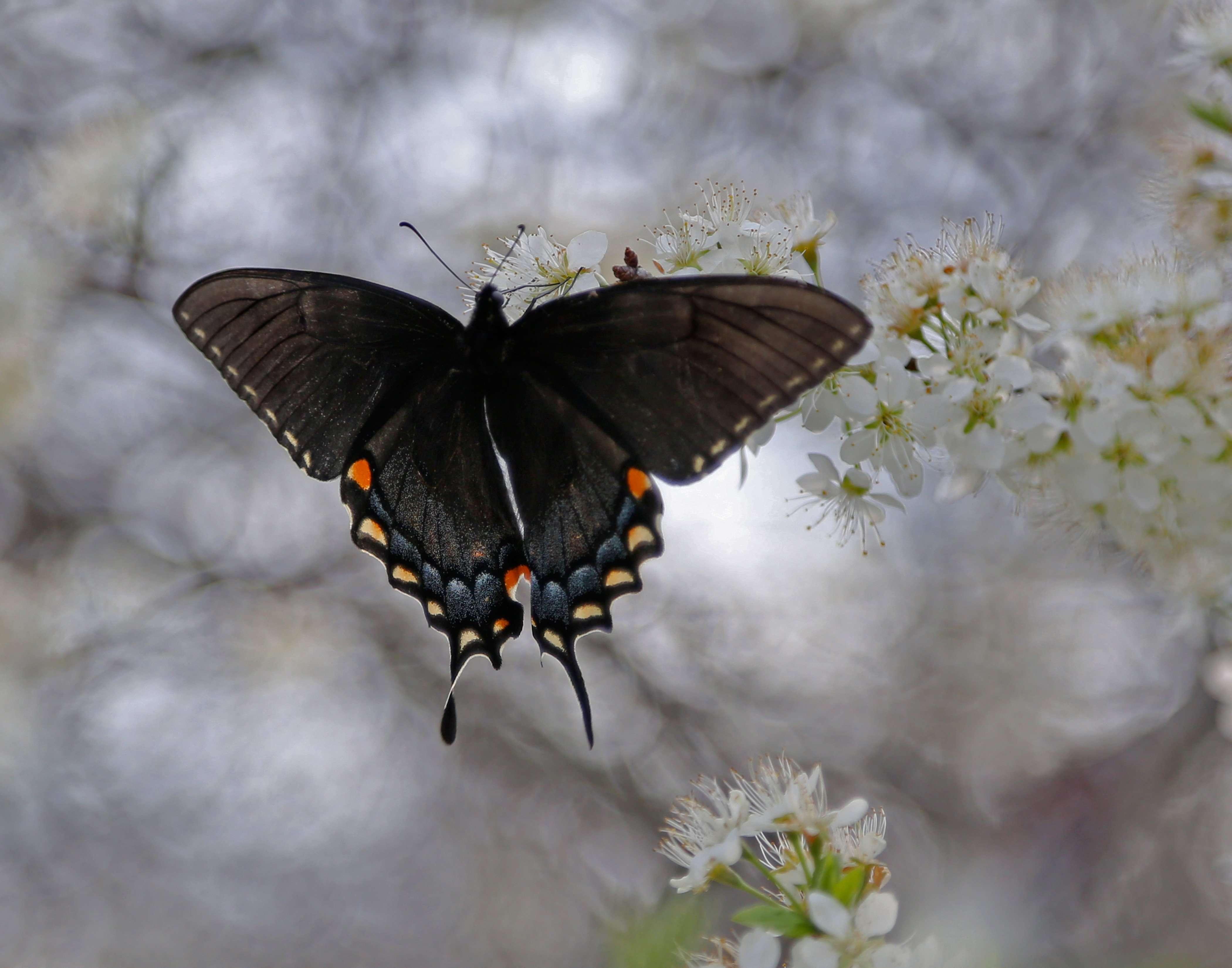 Swallowtail on Wild Plum