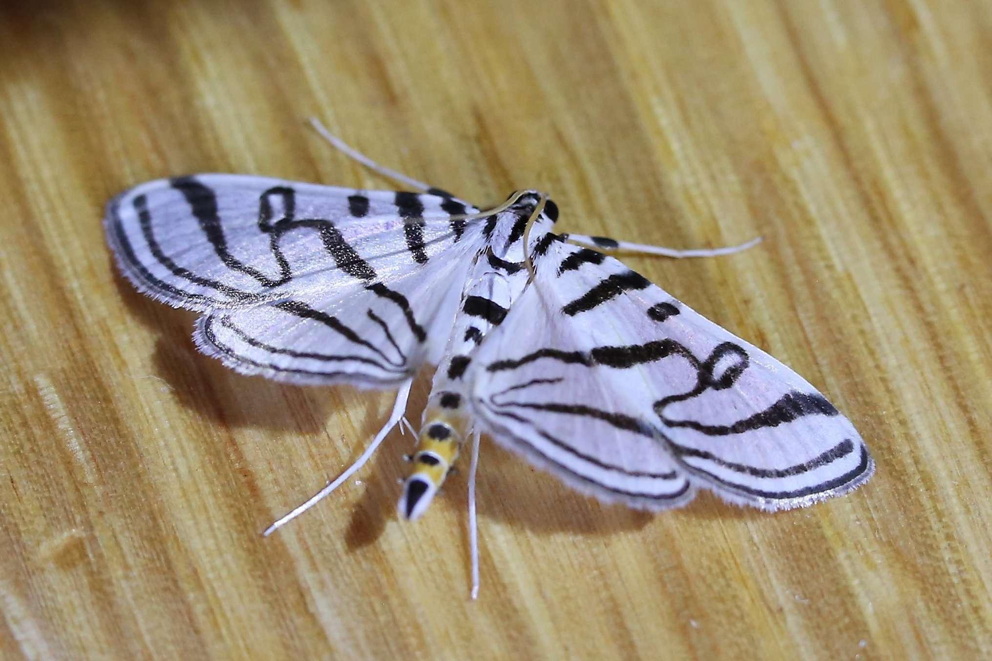 The Hebrew Moth