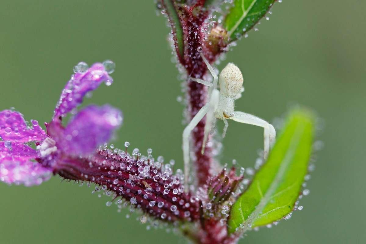 Tiny Crab Spider
