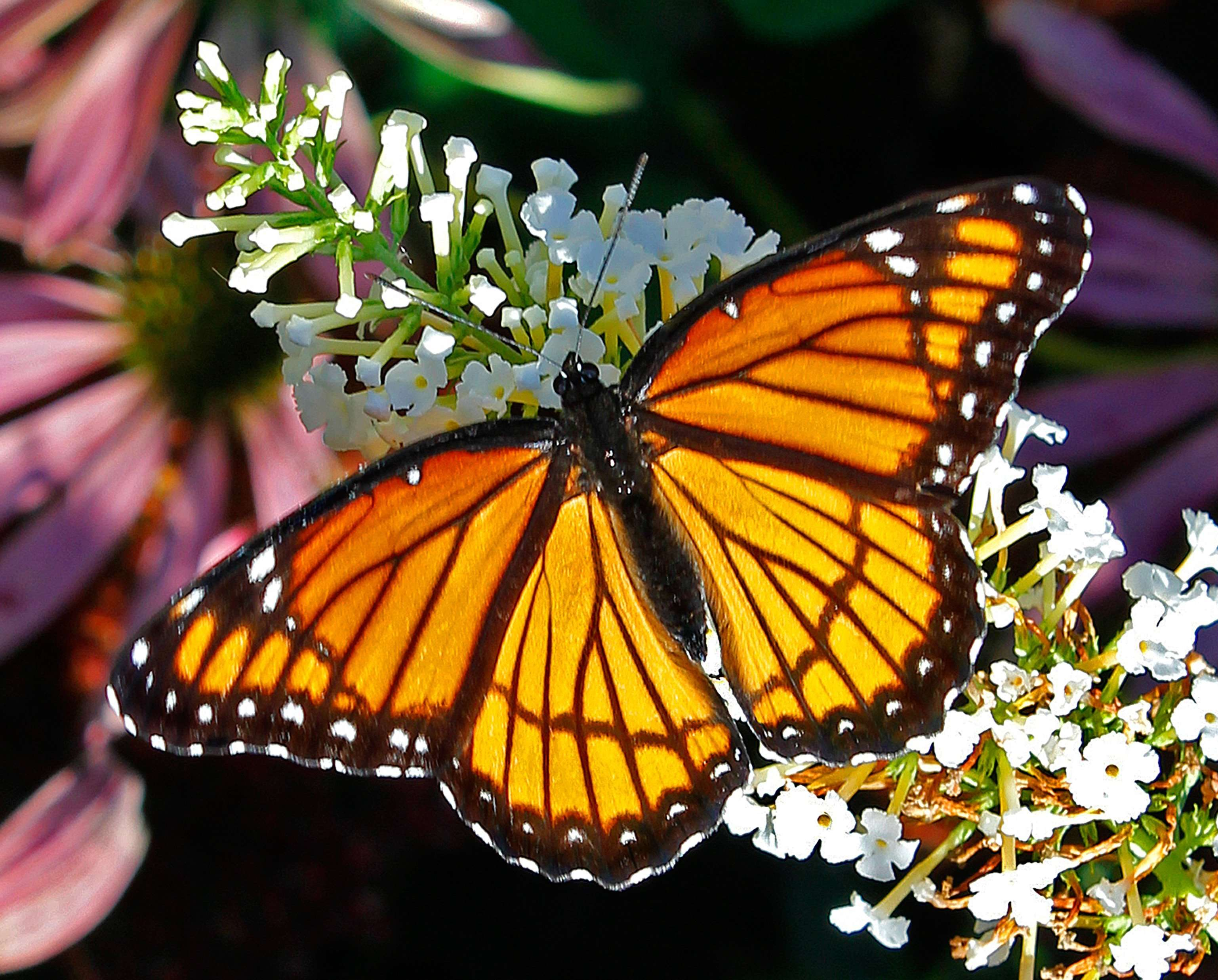 Viceroy Butterfly - Dorsal View