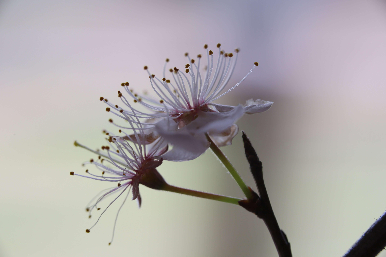 Wild Plum Blossoms Close Up