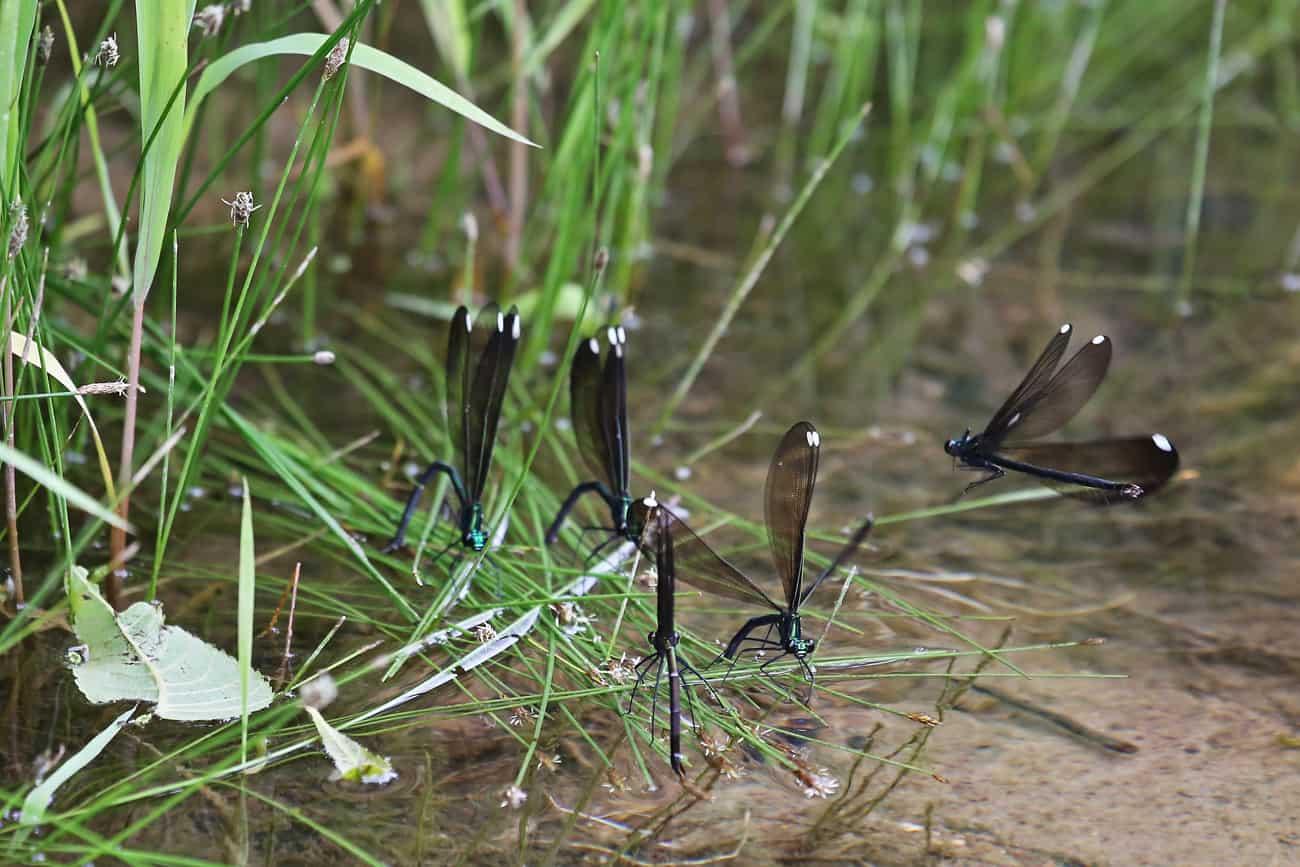 Damselflies Lay Eggs at Creek
