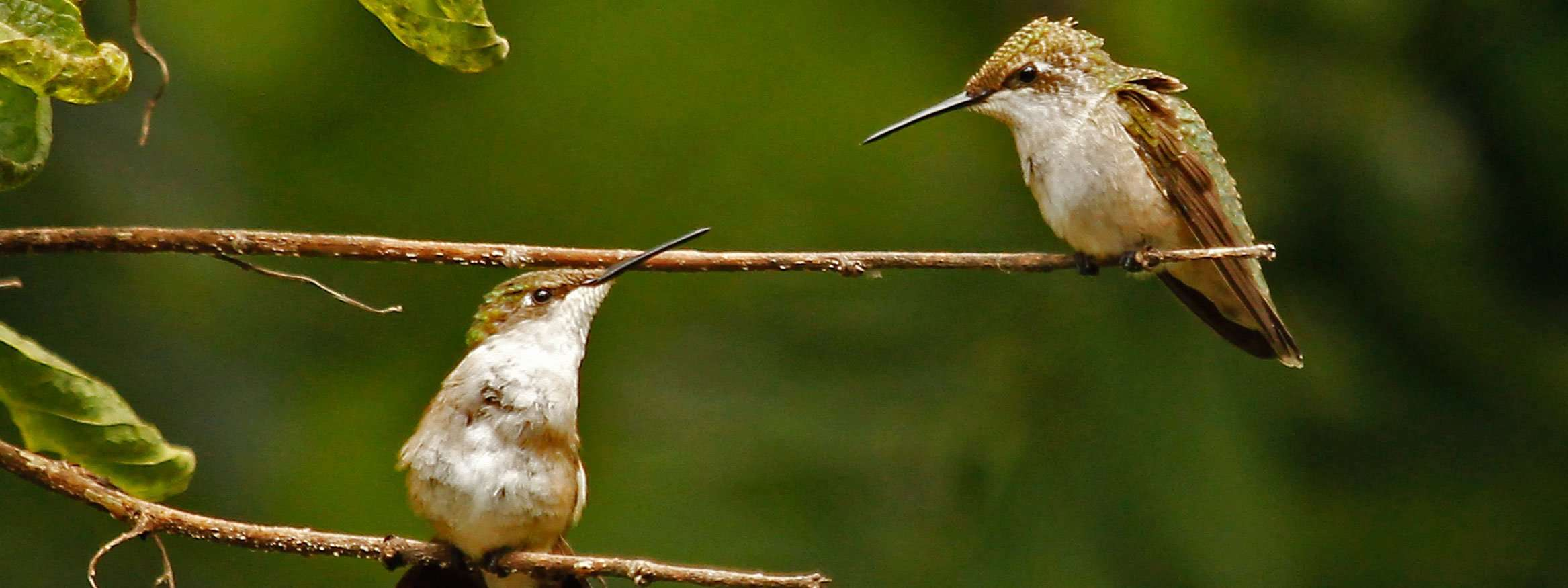 Hummingbird Siblings 'Talk' Together photo by Gail E Rowley Ozark Stream Photography