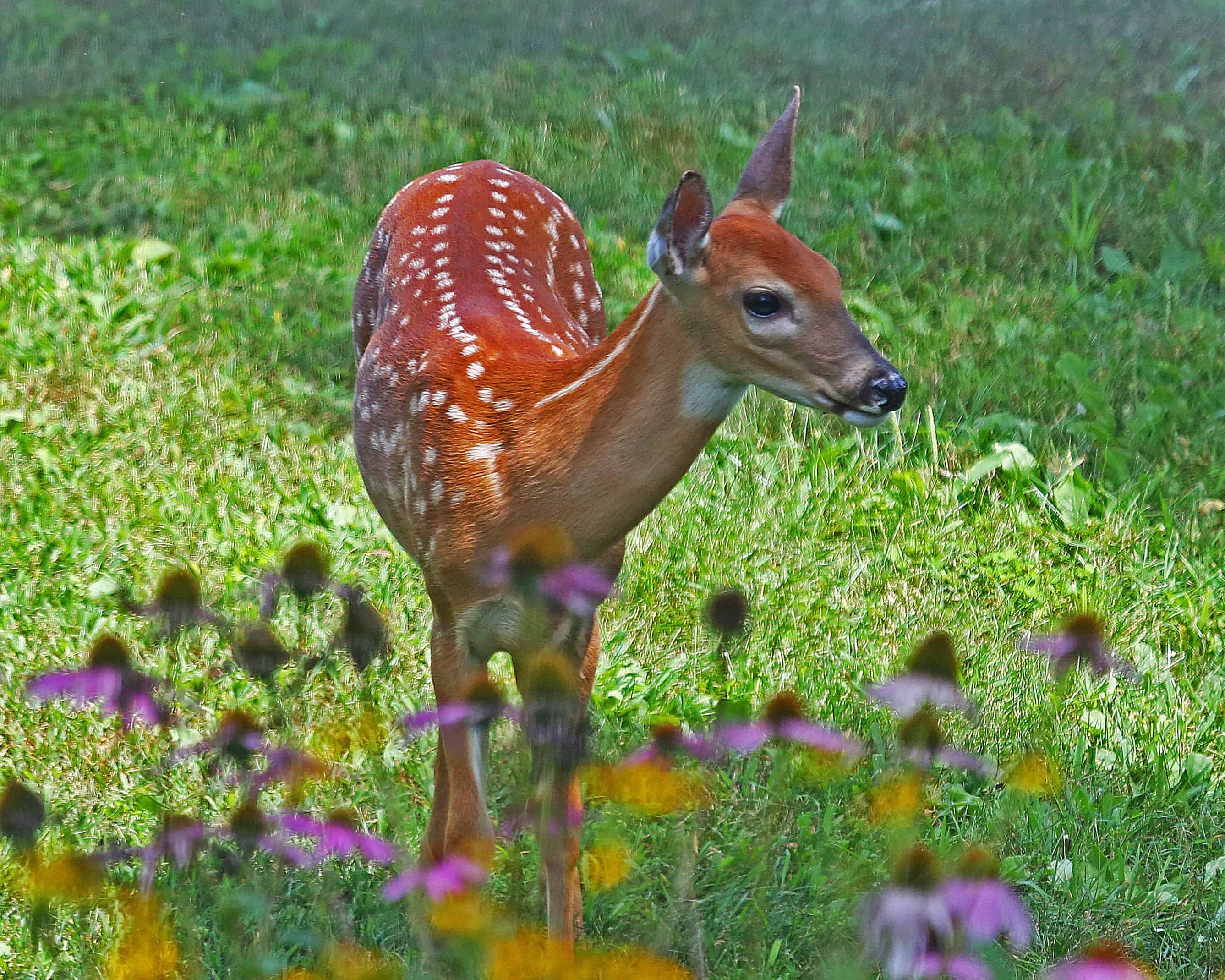 White-tailed Spotted Fawn