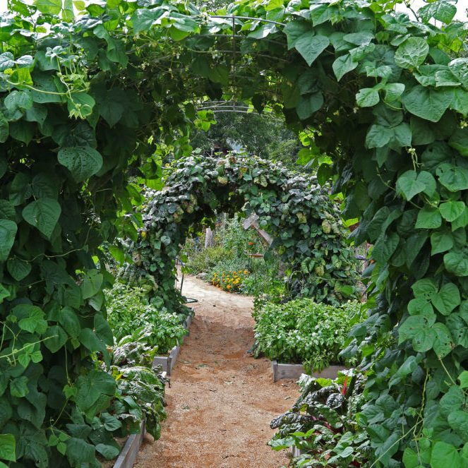 Garden Trellised Pole Bean Haven photo by Gail E Rowley Ozark Stream Photography